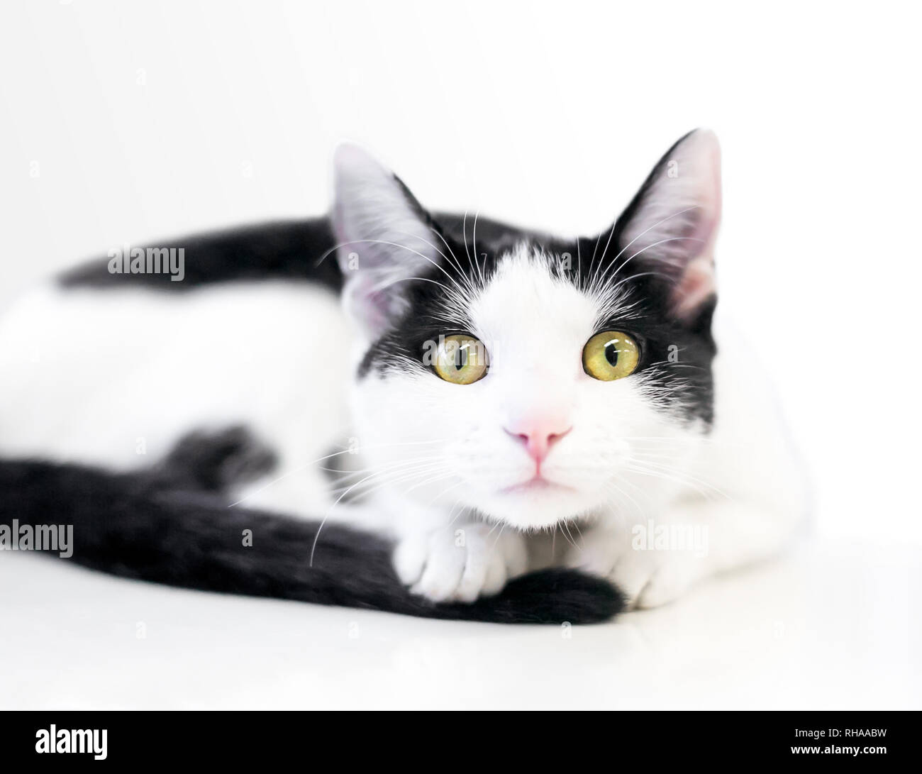 A black and white domestic shorthair cat with a nervous, wide eyed expression - Stock Image