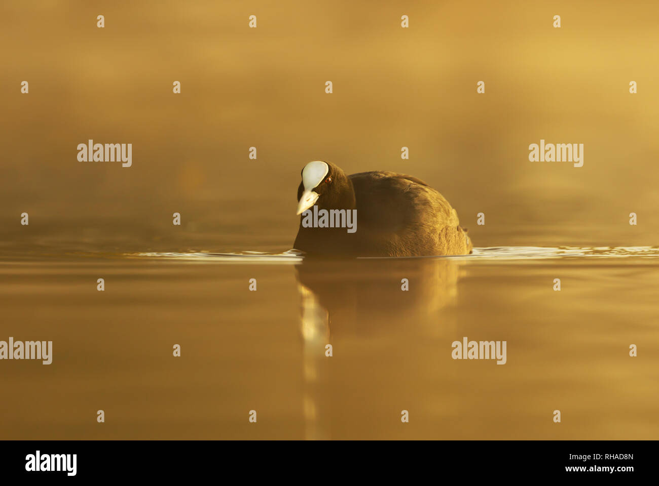Silhouette of a coot (Fulica atra) in water on a golden misty morning. Stock Photo