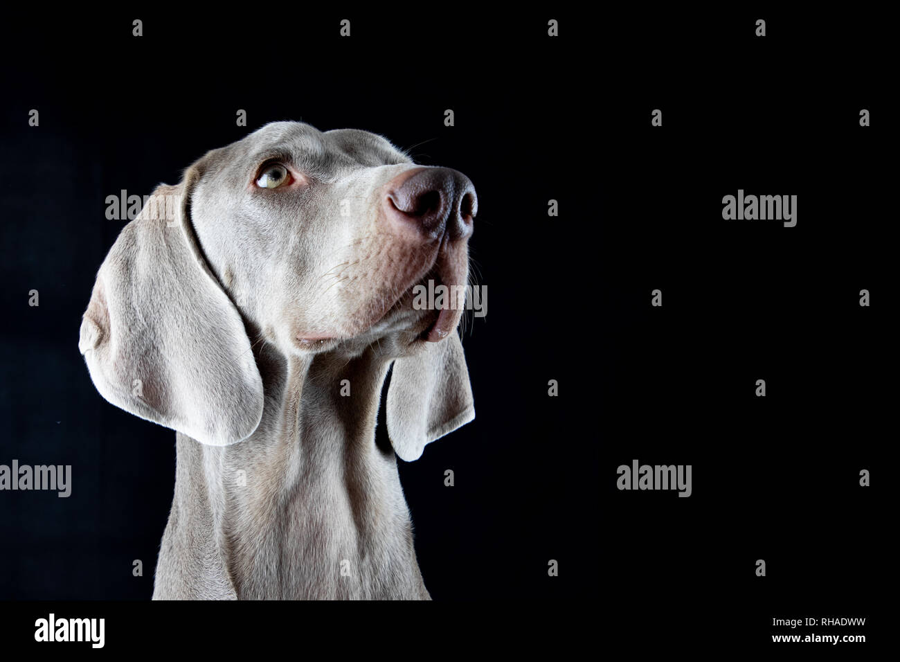 Silver Haired Dog Portrait - Looking Right and Up - Stock Image