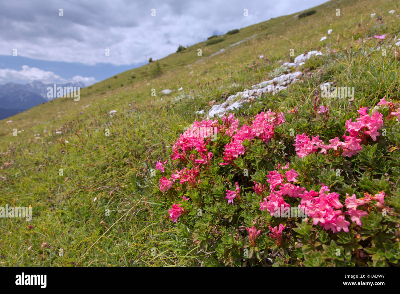 Snow-rose / rusty-leaved alpenrose (Rhododendron ferrugineum) in flower, Hohe Tauern National Park, Carinthia, Austria - Stock Image