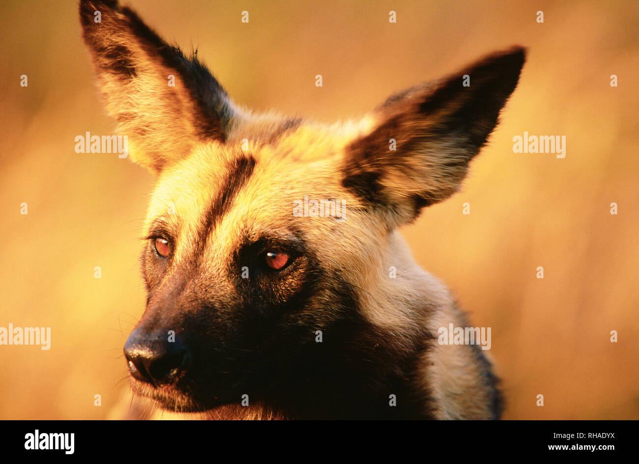 Afrikanischer Wildhund (Lycaon pictus) im Krüger NP in Südafrika - Stock Image