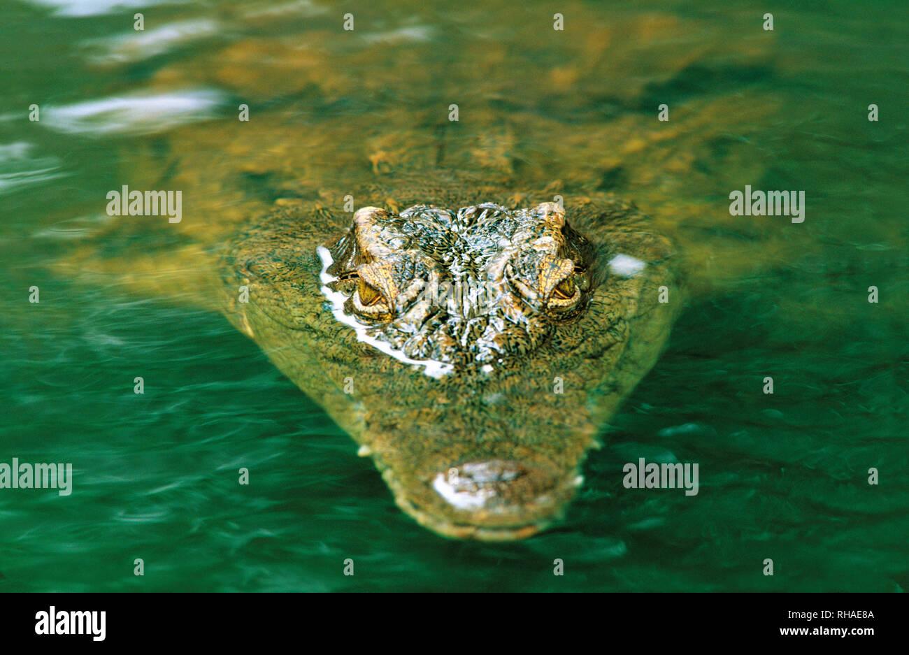 Nil-Krokodil (Crocodylus niloticus) in der Crocodile Ranch in Victoria Falls (Zimbabwe, Afrika) - Stock Image