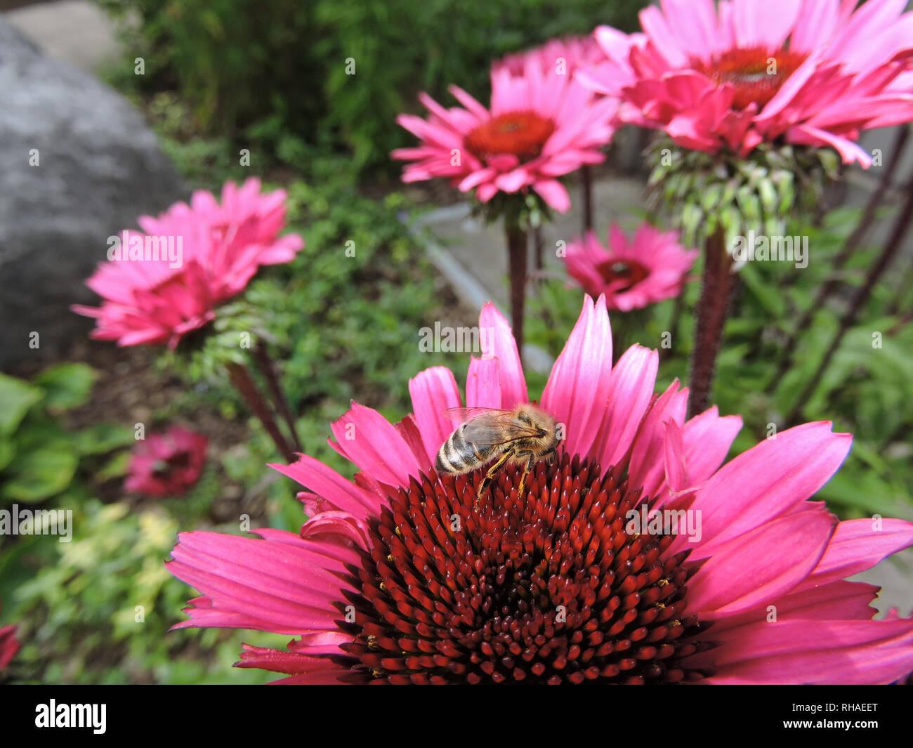 Purpur-Sonnenhut (Echinacea purpurea), Knospe mit Biene (Honigbiene, Apis mellifera) - Stock Image
