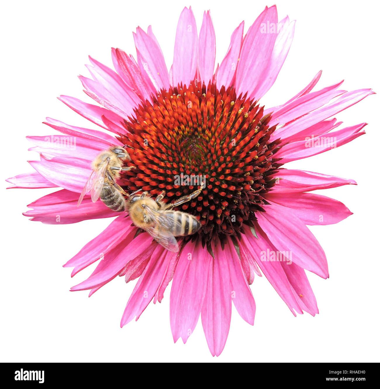 Purpur-Sonnenhut (Echinacea purpurea), Knospe mit Biene (Honigbiene, Apis mellifera) Stock Photo