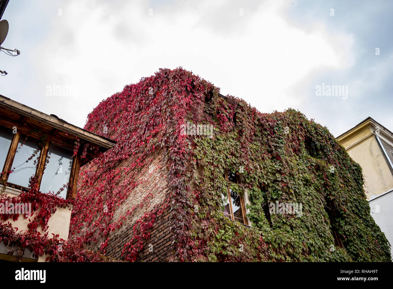 Old residential building in downtown Sofia, amazingly overgrown with Wild Grapes, thousands of leaves with green and red autumn colors, Bulgarian fall Stock Photo