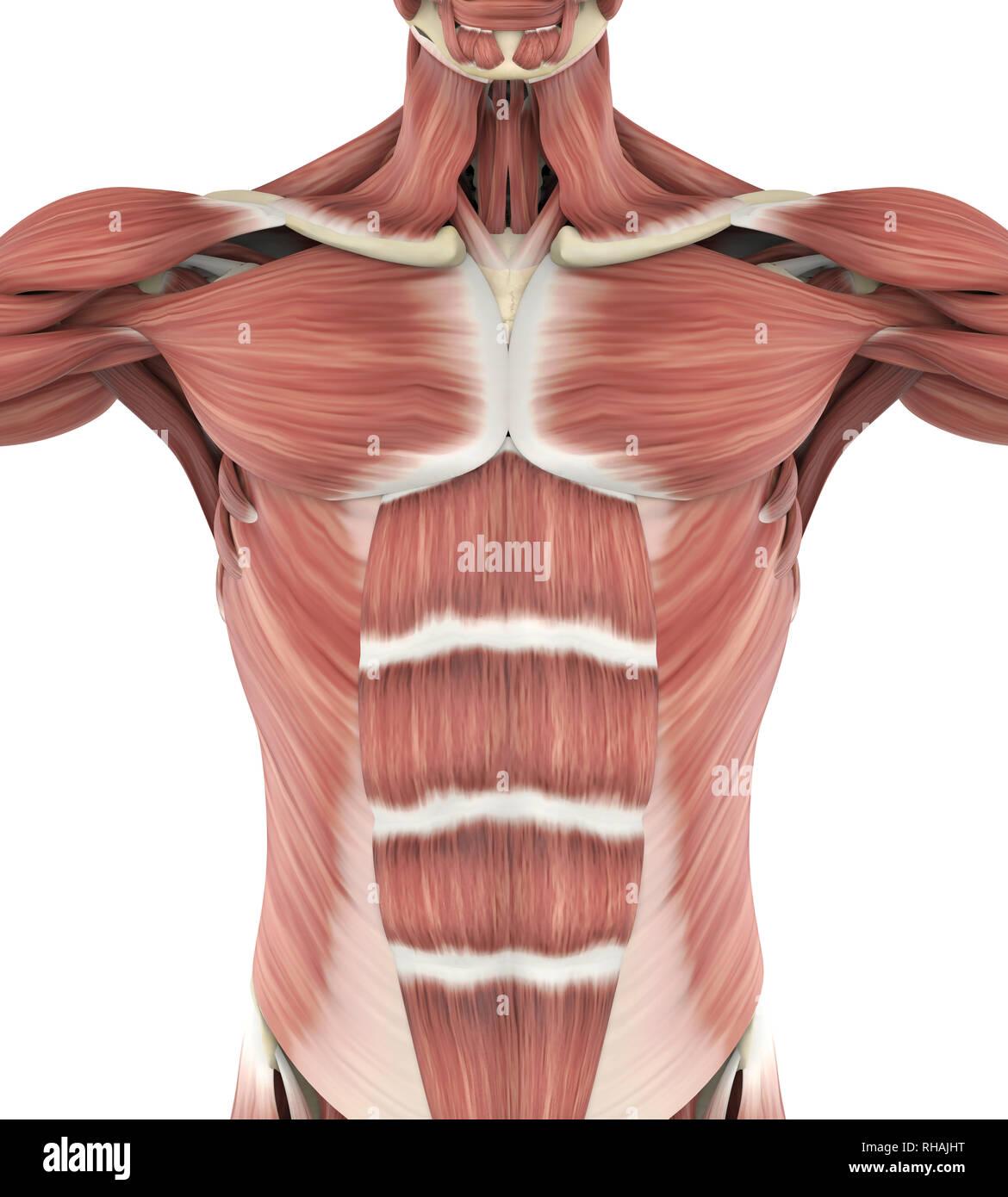 upper anterior muscles anatomy - stock image
