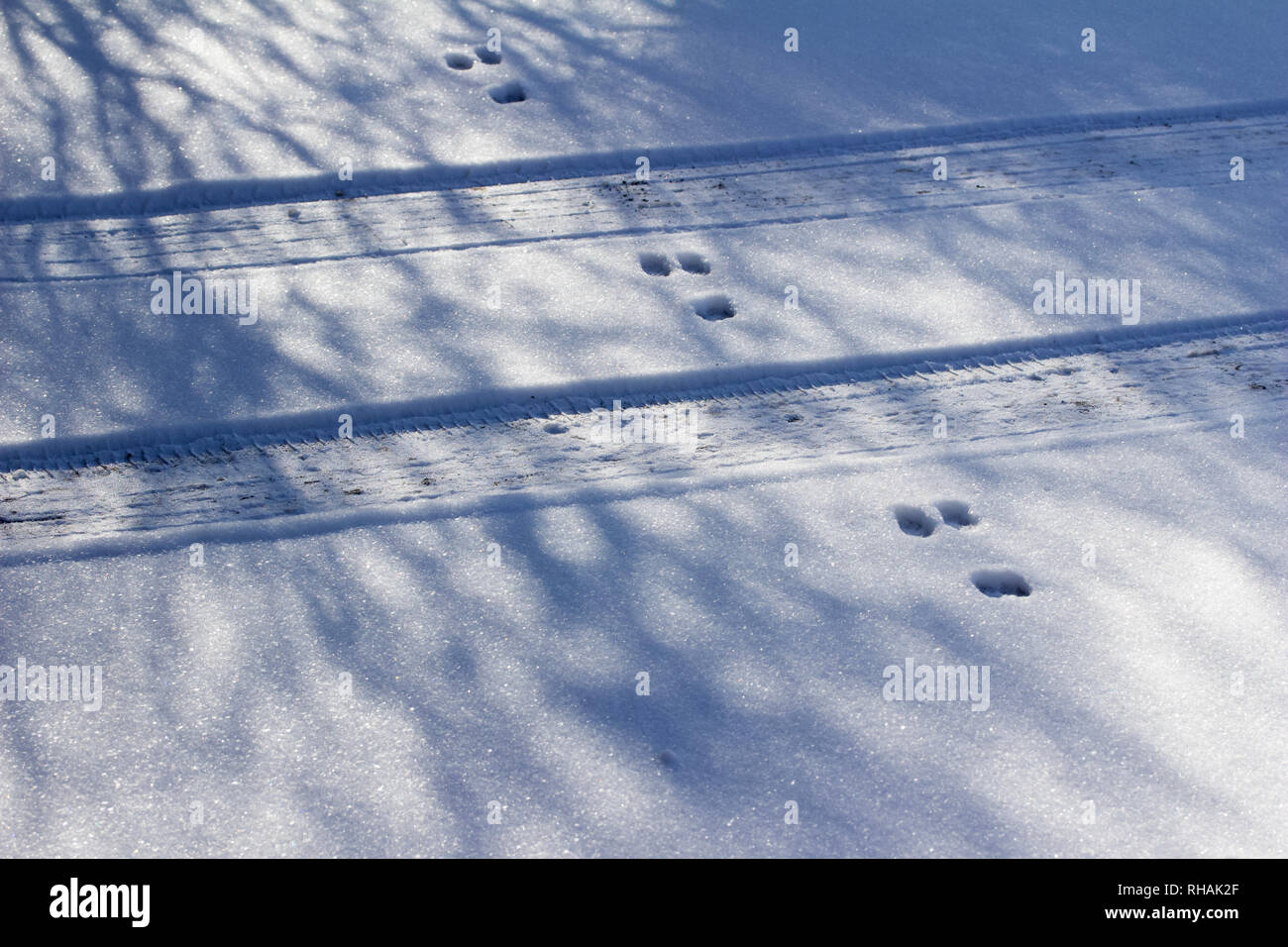 Winter snow texture abstract landscape background featuring rabbit tracks crossing tire tracks in the snow - Stock Image
