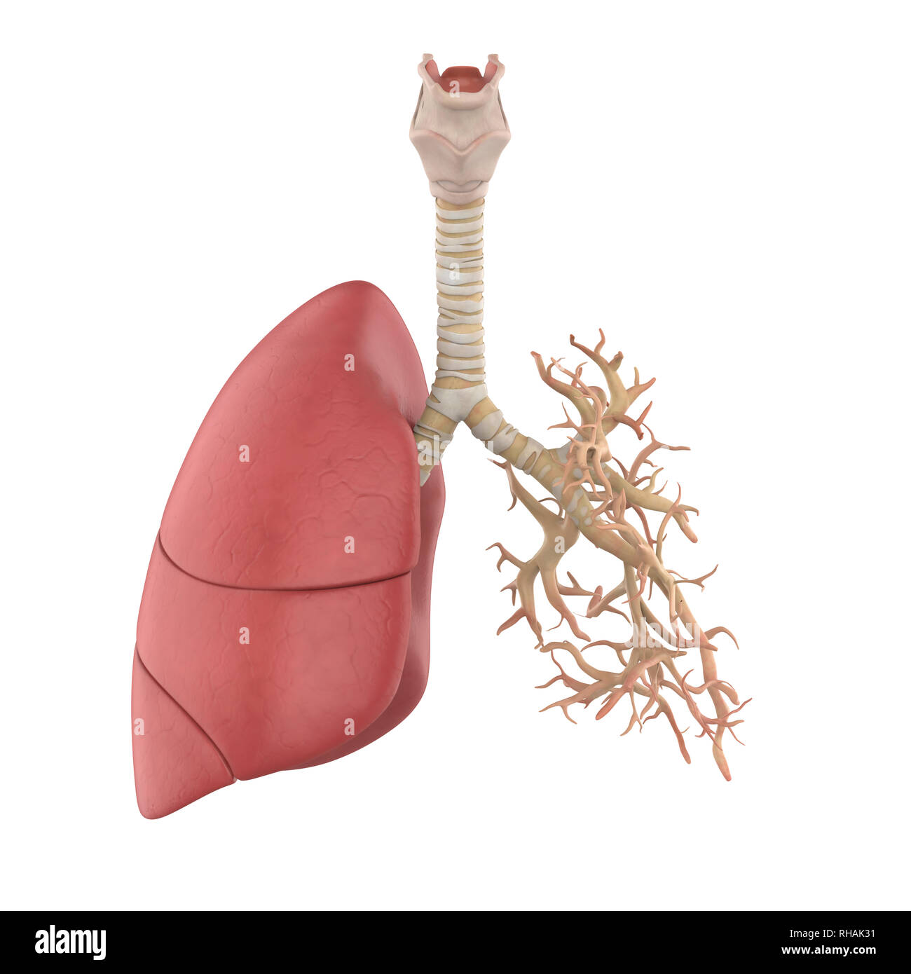 Human Lung Anatomy - Stock Image