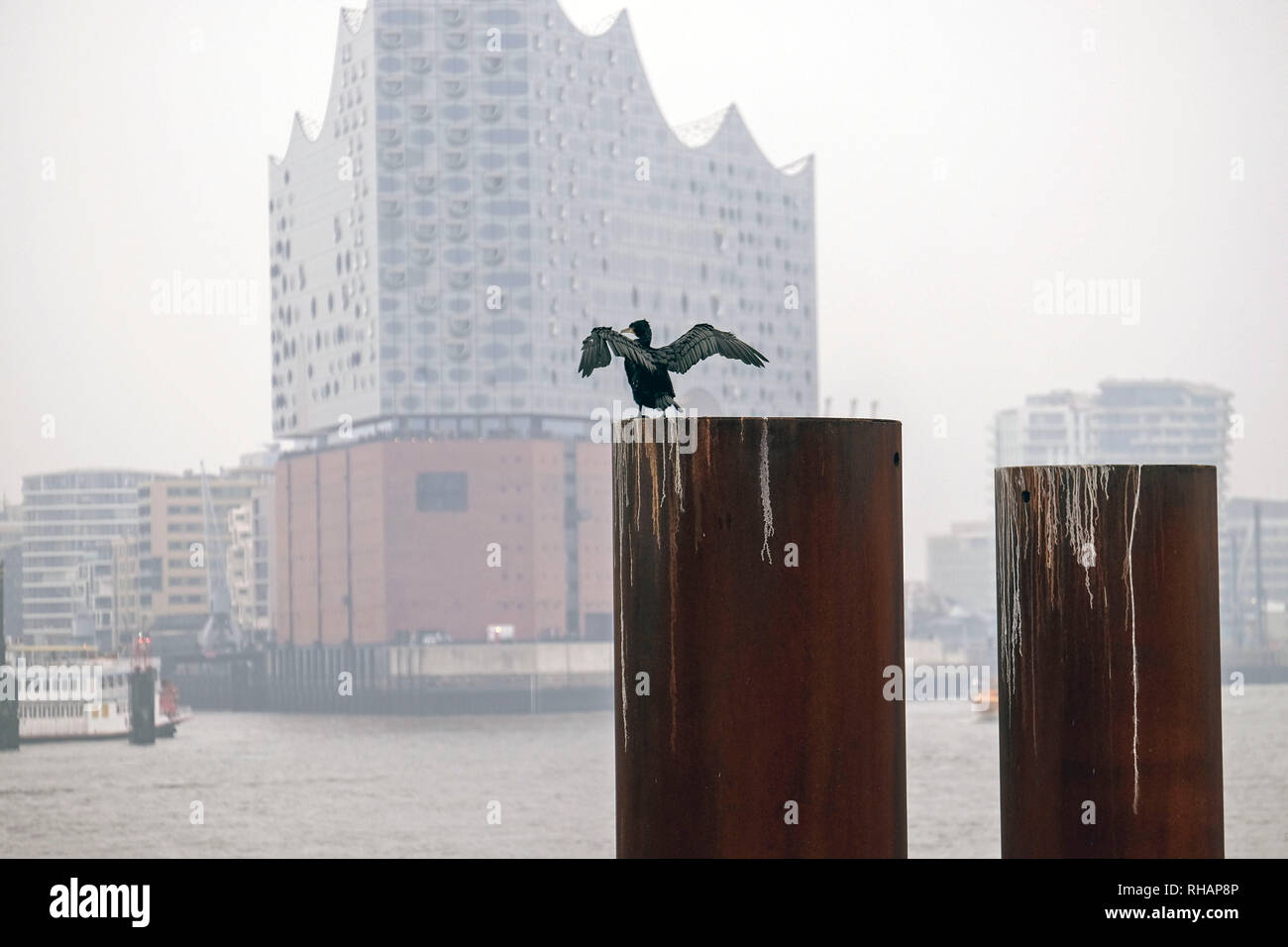 25.11.2018, Hamburg, Germany - a cormorant has spread its wings out to dry on a pole on the banks of the Elbe in Hamburg opposite the Elbe philharmine - Stock Image