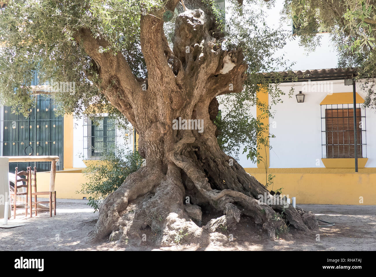 Huelva Province in Spain: an ancient Olive tree in the town of El Rocio. - Stock Image