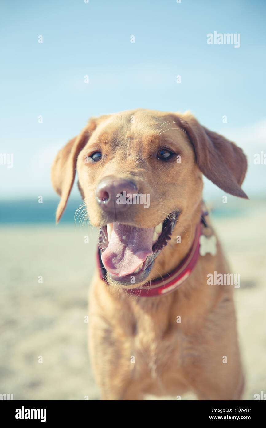 A close up portrait of a big, friendly Labrador retriever dog with its tongue sticking out whilst panting in hot weather on Summer vacation - Stock Image