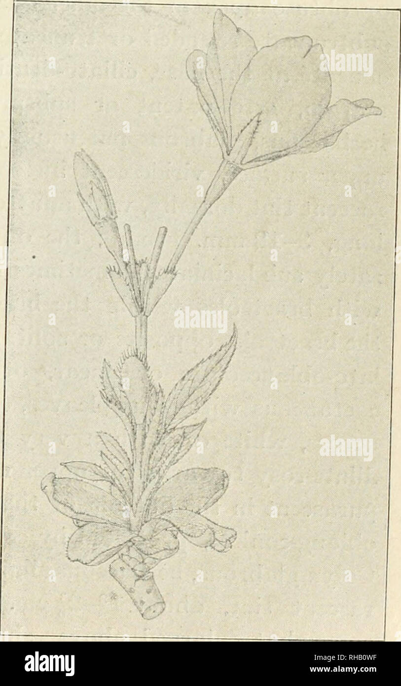 . The Botanical magazine. Plants; Plants -- Japan. 1912.] T. MA?0.—OBSERVATIONS ON THE FLORA OF JAPAN, 119 or deeply shaded with purpurascent tint, tufted and protected by the perul^e at the base of the leaf-tuft, quitelj glabrous, with a slender glabrous petiole and very aiigustate long stip- ules ? blade at first condnplicate, obovato-elliptical, abruptly caudato-acuminate, setaceo-serrate, shining ? midrib and veins prominent beneath ? petiole with 2-4 minute discoiclal purple glands in the apical portion, canalicnlated in front, viridescent and often purpurascent, attaining about 3 cm. lon - Stock Image