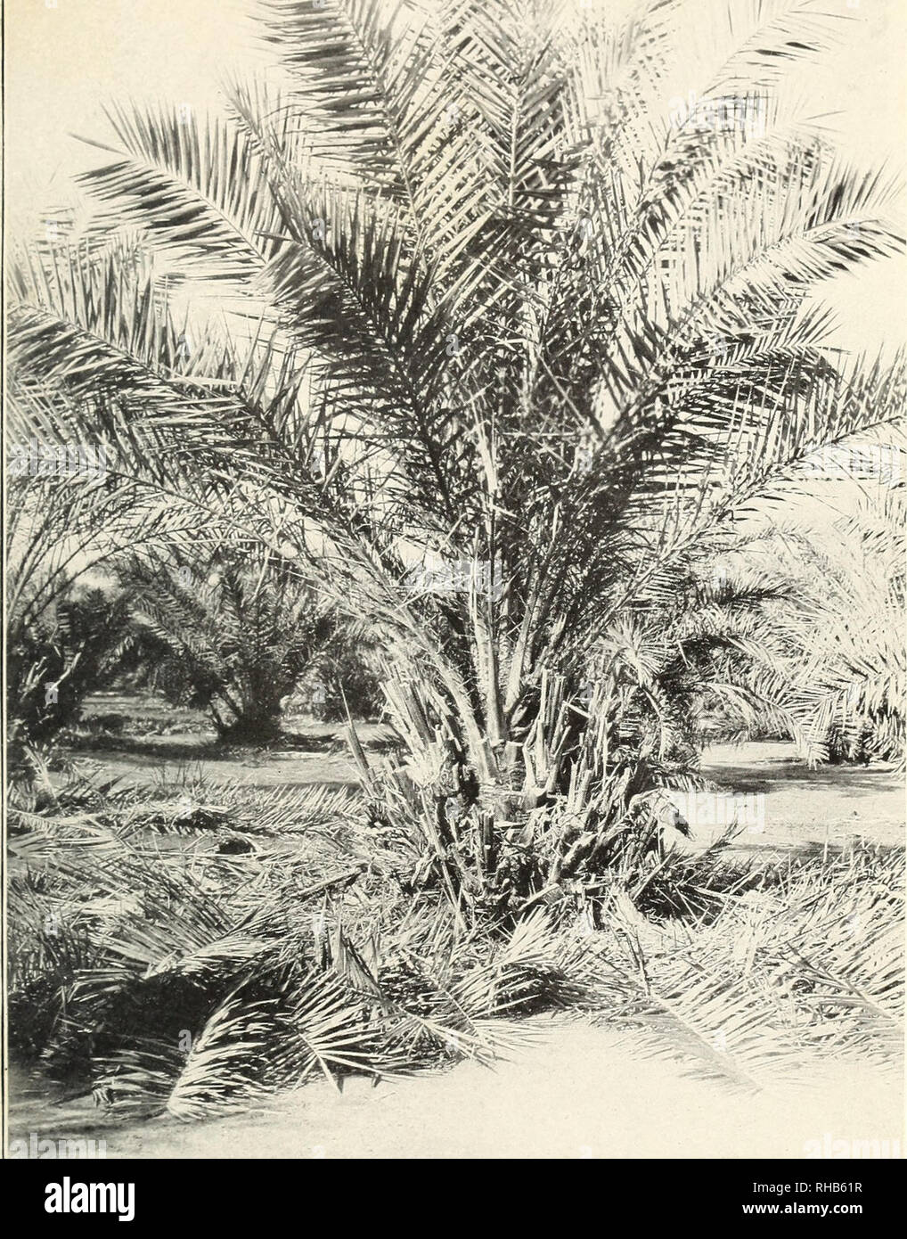 . Botanical characters of the leaves of the date palm used in distinguishing cultivated varieties. Date palm; Leaves; Date palm. Bui. 223, U. S. Dept. of Agriculture. Plate I.. !£§ ::^r A 9-Year-0ld Date Tree in the Cooperative Date Garden, Tempe, Ariz. A large number of offshoots, shown both at tbe base of the trunk and on its sides, are trimmed up and ready for removal.. Please note that these images are extracted from scanned page images that may have been digitally enhanced for readability - coloration and appearance of these illustrations may not perfectly resemble the original work.. Mas - Stock Image
