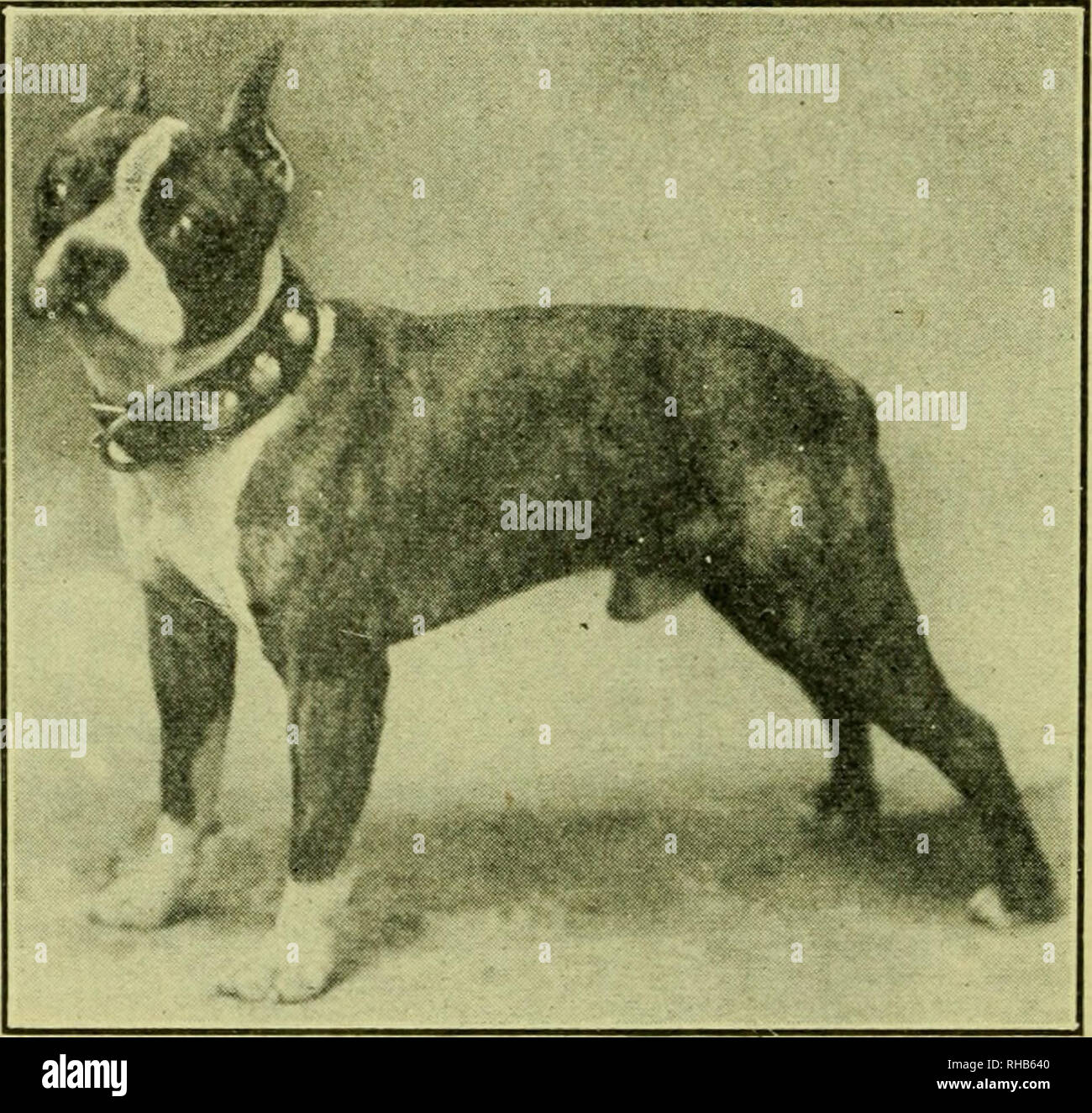 The Boston Terrier Its History Points Breeding Rearing Training