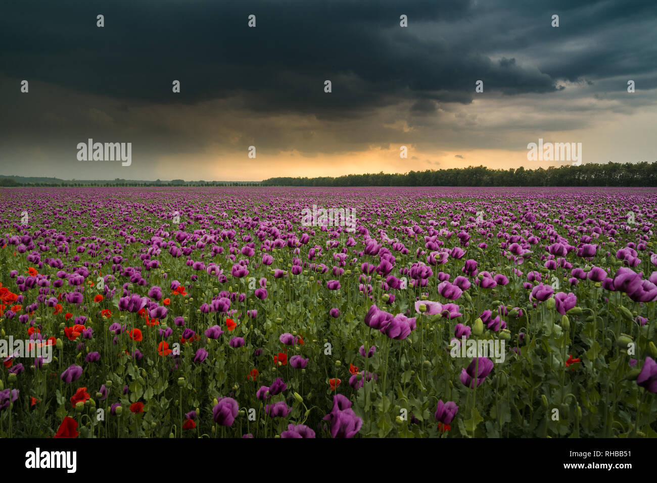 Opium poppy field with overcast dramatic sky Stock Photo