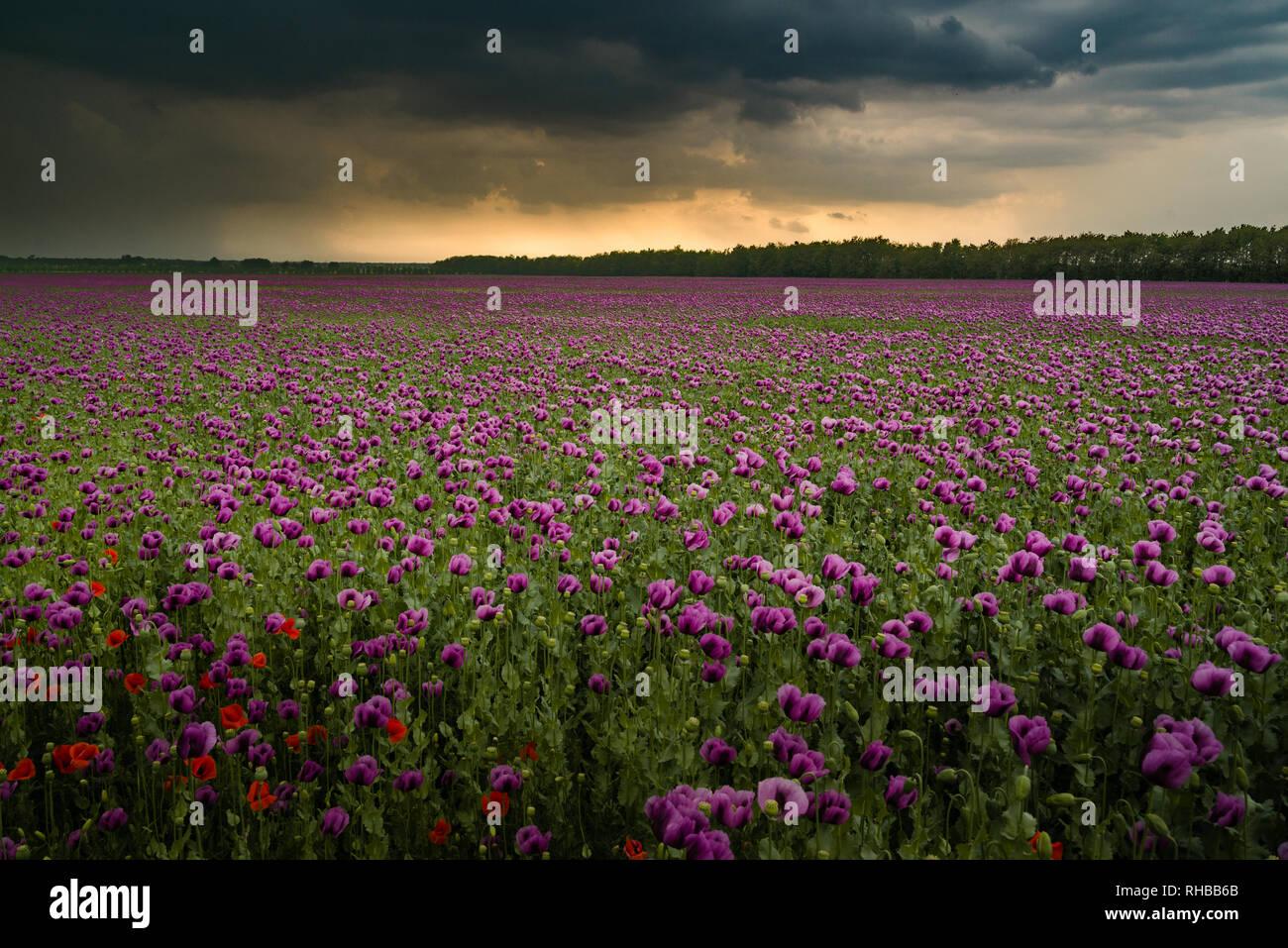Opium poppy field with overcast dramatic sky Stock Photo