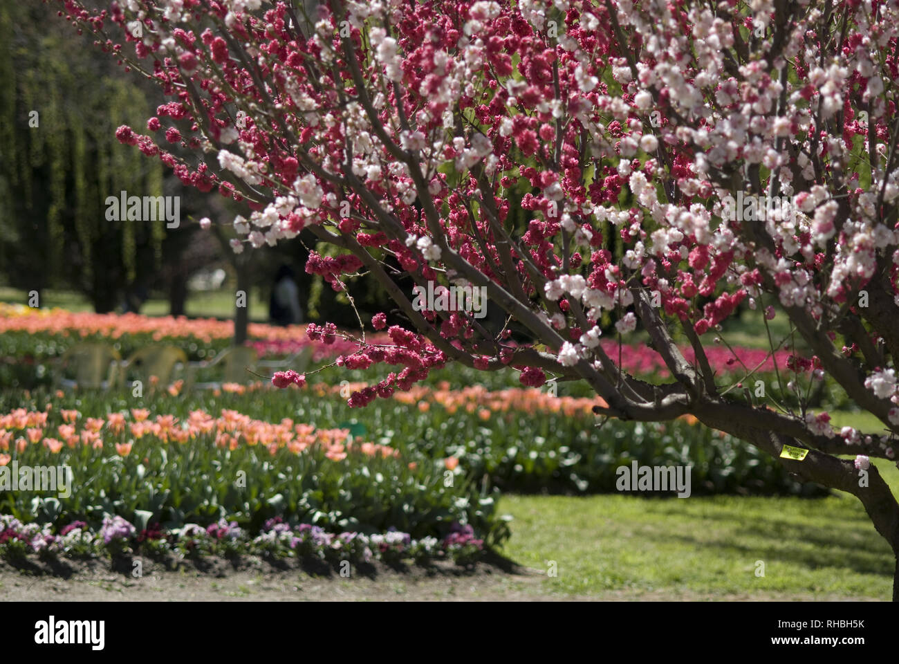 Cherry Blossom And Tulip High Resolution Stock Photography And Images Alamy