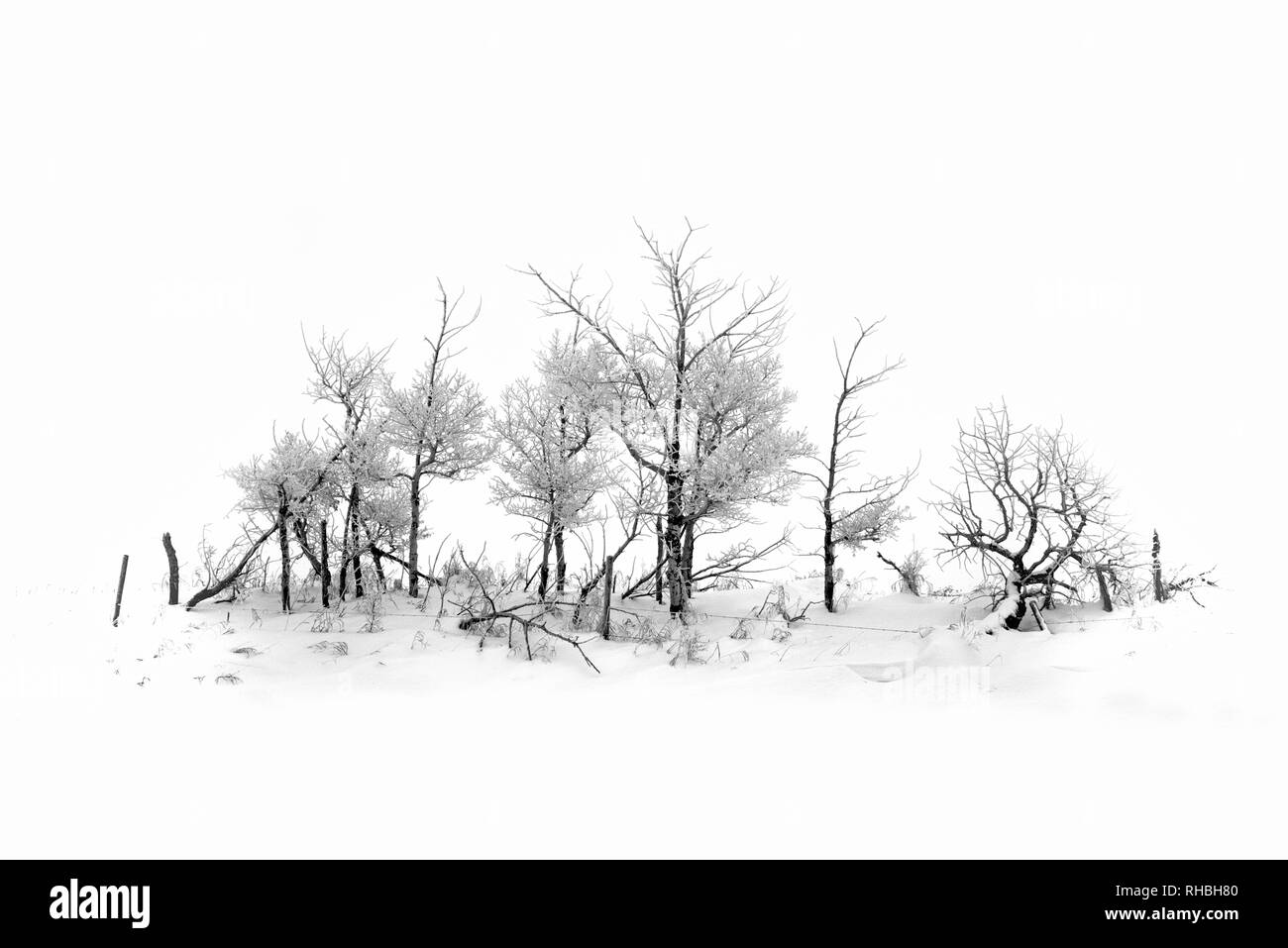 Beautiful hoarfrost covered trees on a rural fence line in Alberta, Canada. - Stock Image