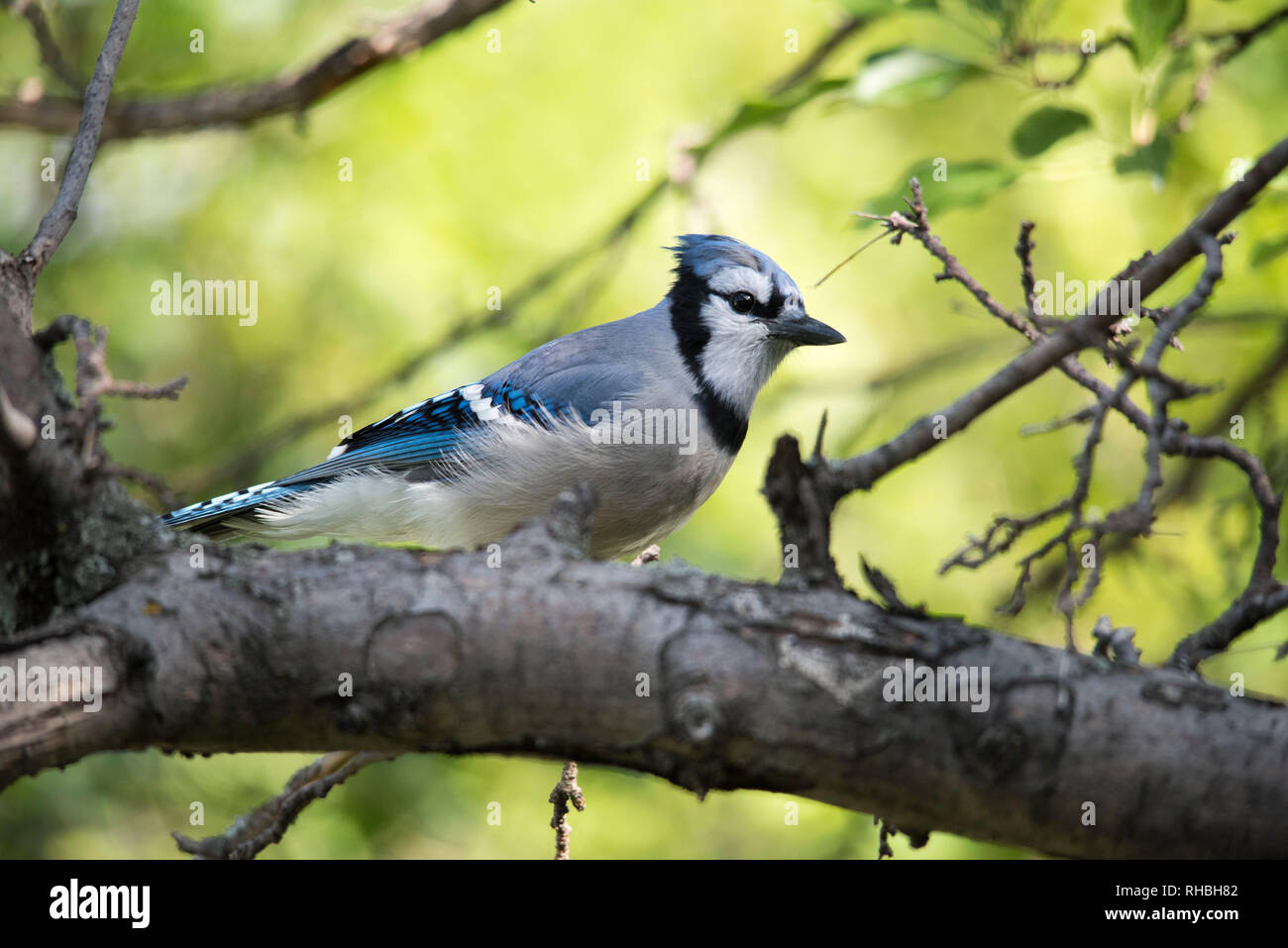 A blue jay sitting on the branch of a tree in summer. Stock Photo