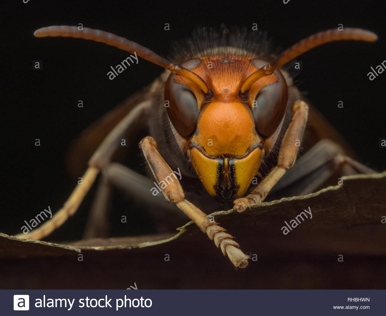 asian hornet Vespavelutina macro nature invasive species natural pest control - Stock Image