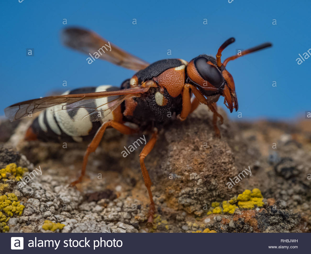 potter wasp macro hymenopterans side shot - Stock Image
