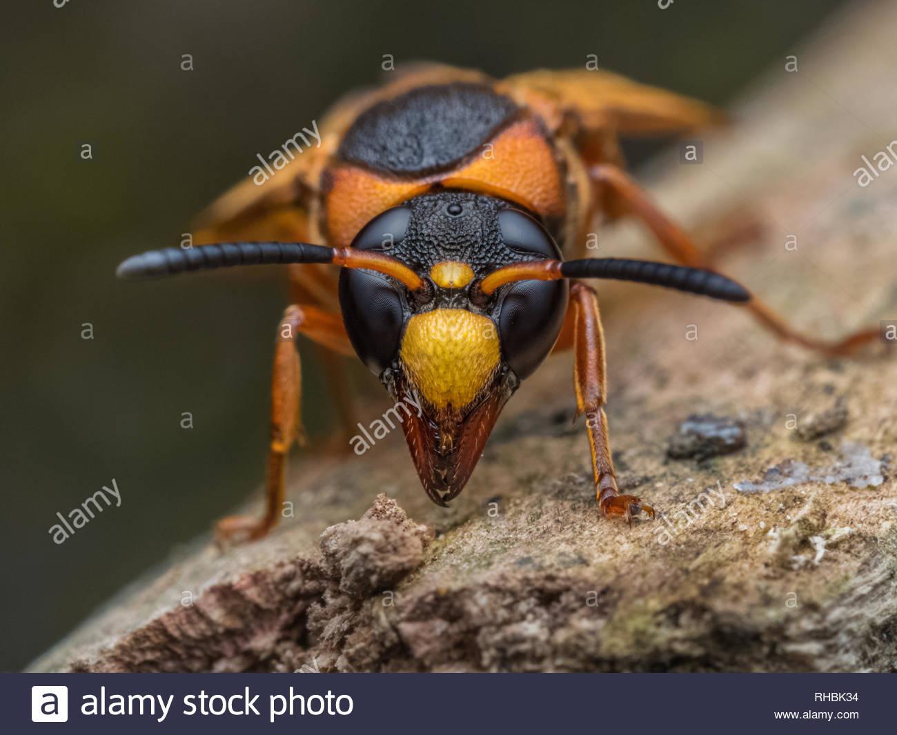 potter wasp macro head shot hymenopterans - Stock Image