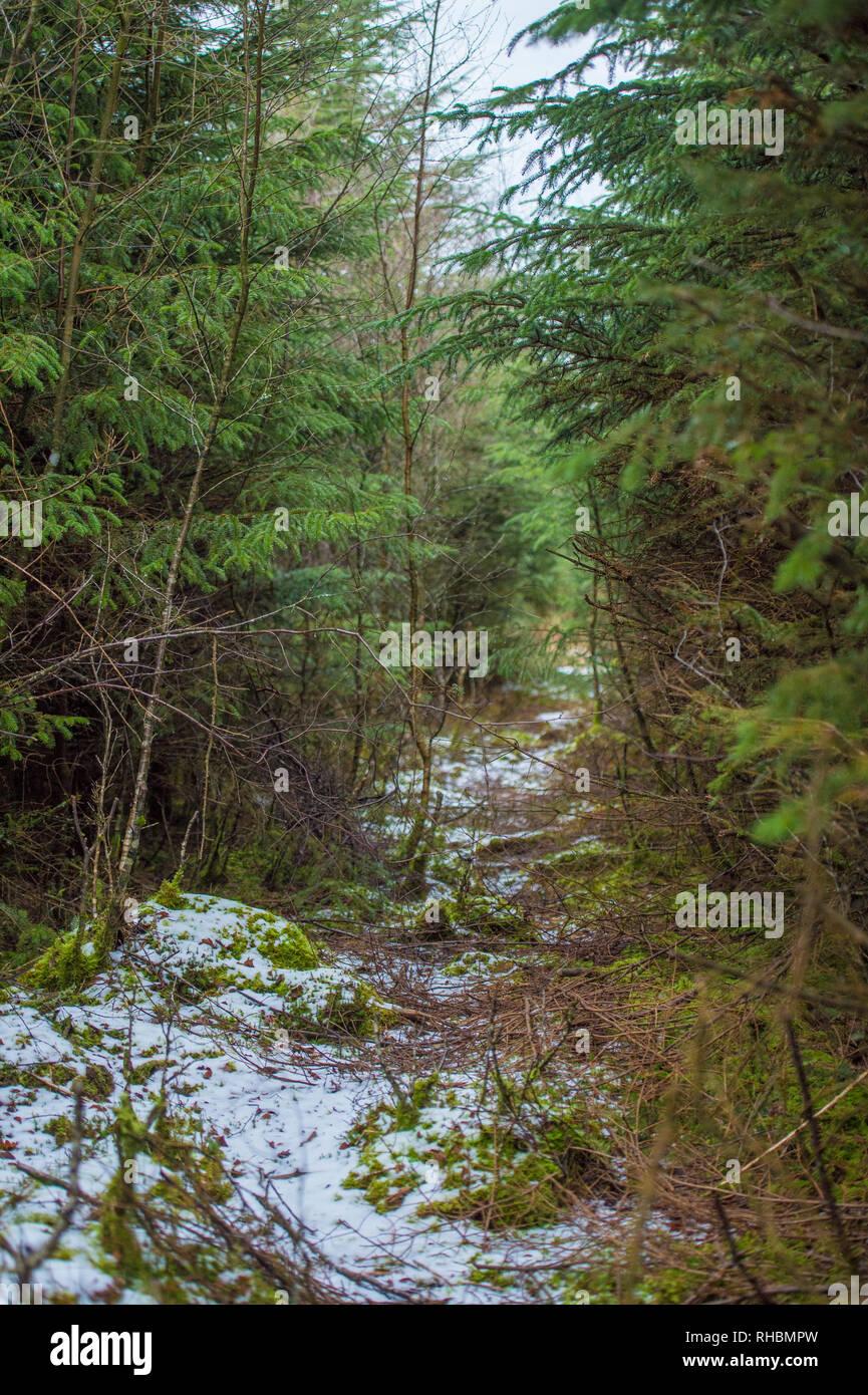 pine trees in snow - Stock Image