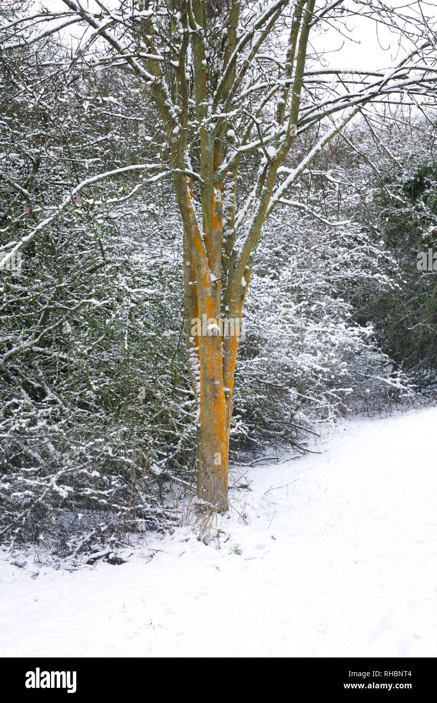 Lichen covered trees in Winter. - Stock Image