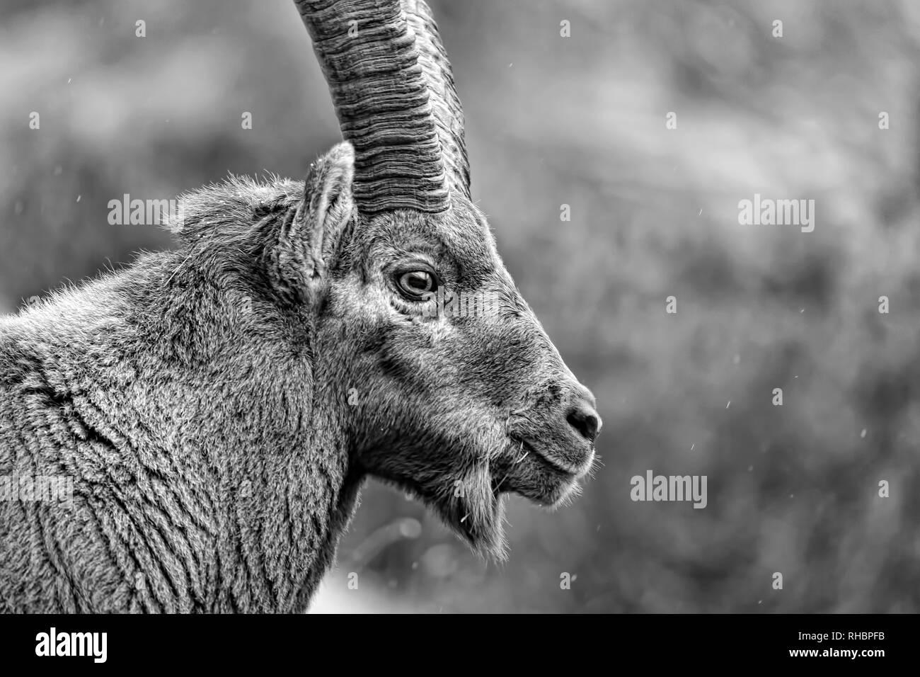 Wonderful portrait of Alpine ibex in the Alps (Capra Ibex), black and white photos - Stock Image