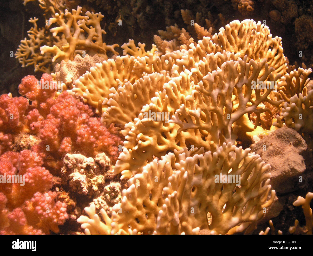 Fire Coral (Millepora) found across the tropical seas - Stock Image
