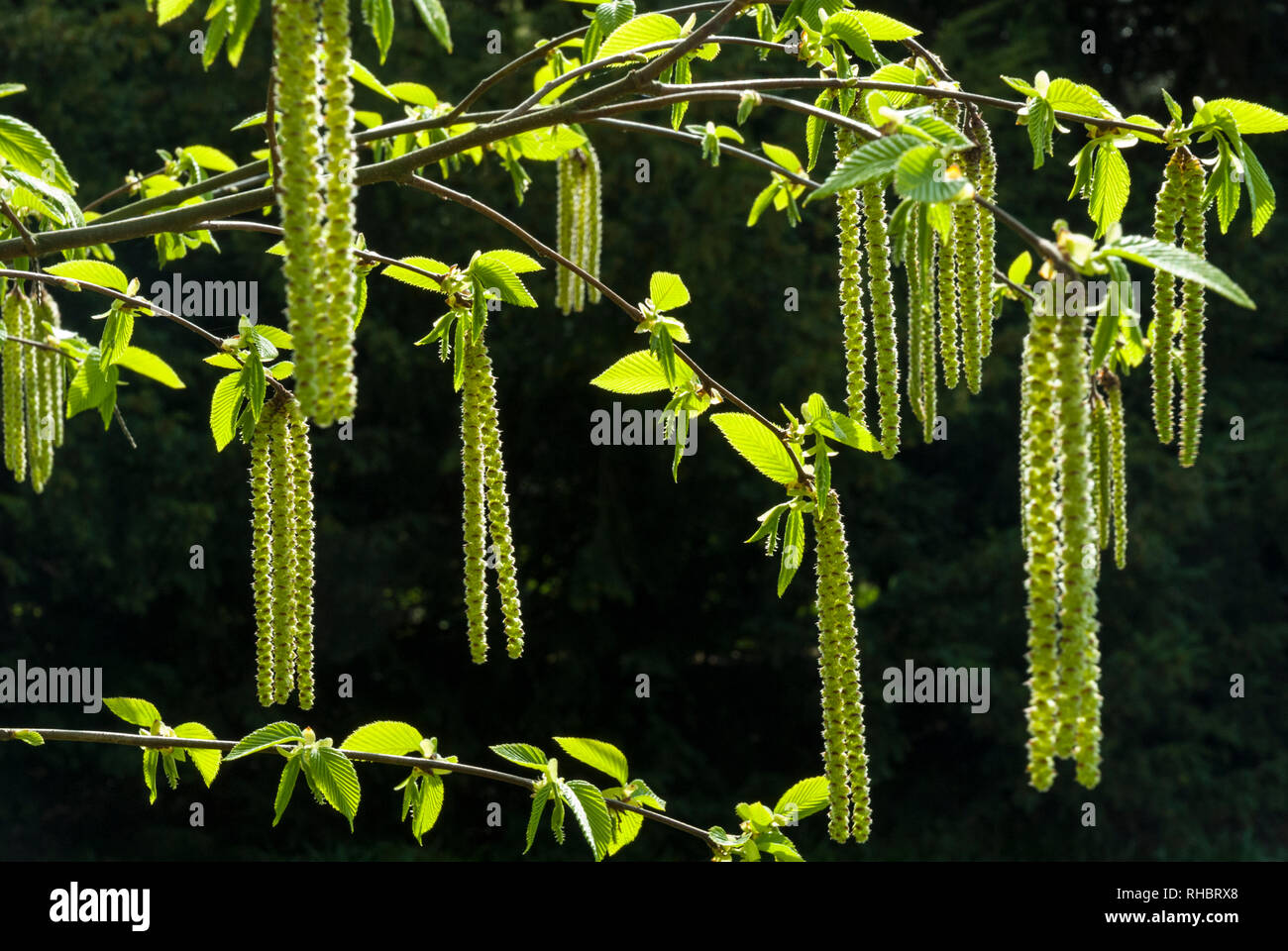 Long catkins and leaf buds of the Hazel in sunshine against a dark background on a bright spring day. - Stock Image