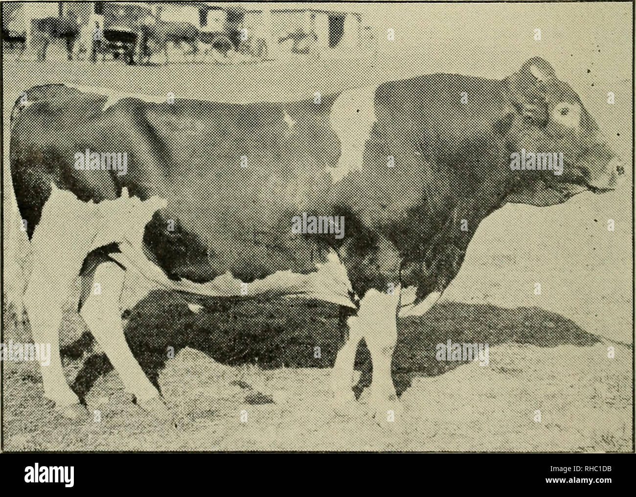 . The book of live stock champions. Livestock. IMP. MEDDLER—A THOROUGHBRED BAY HORSE. Leading winning sire in the racing seasons of 1904 and 190 6. Then owned by Clarence H. Mackay, Kingston Stud, Lexington, Ky.. GOLDEN BEN GUERNSEY BULL, SIX YEARS OLD. Weighs L,625 pounds. The picture was taken at the Wisconsin Stale Fair. win-re he had just won the championship. GOLDEN HEN was sired by Ben Sampson, r>,480, and his dam is Nellie B.. 12,305. We are in- formed by the owners and exhibitors, Messrs. A. W. & F. E. Fox, of Waukesha, Wis., that this great bull has a fine and gentle dispositio - Stock Image
