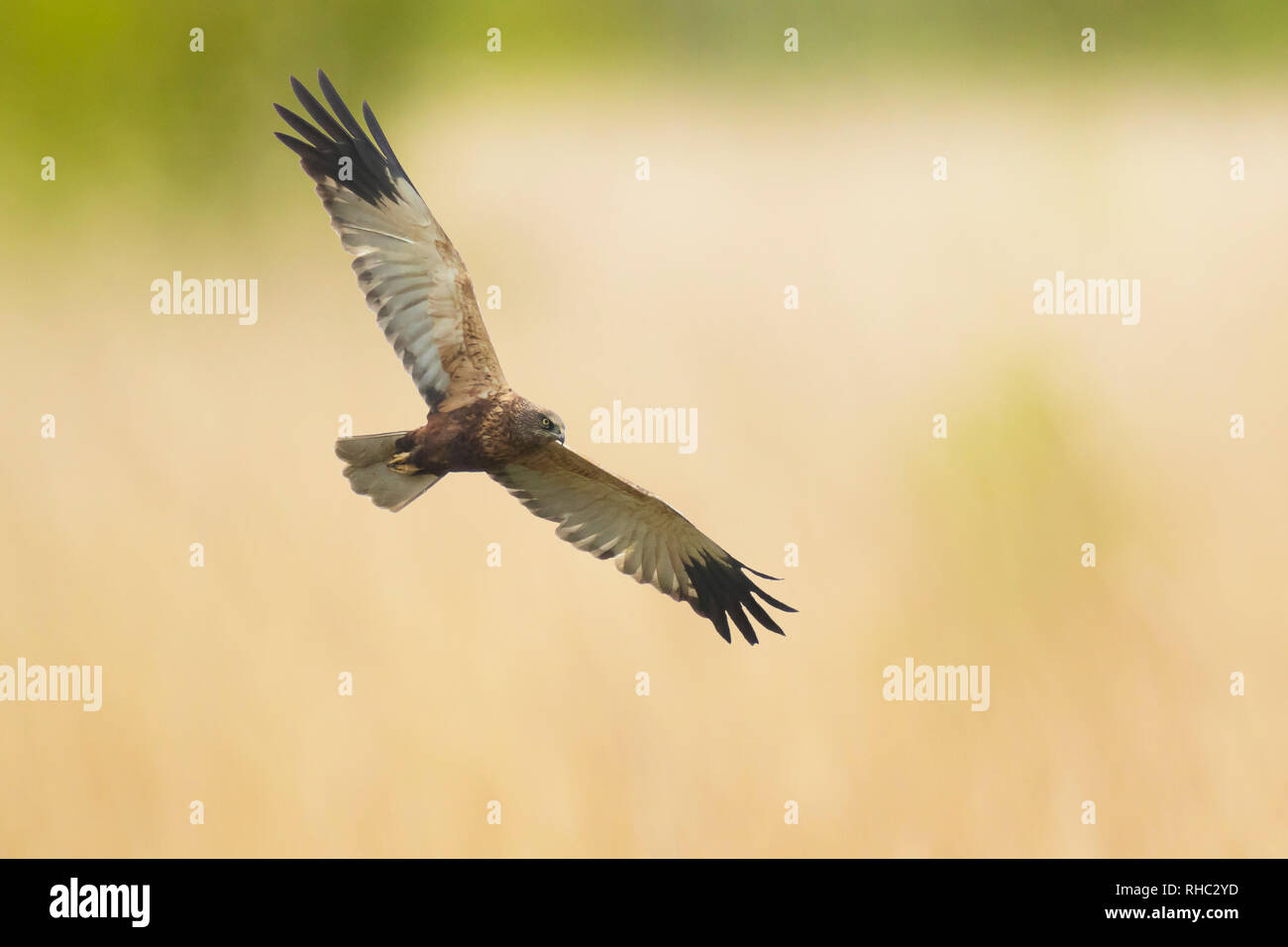 Male Western marsh harrier, Circus aeruginosus, bird of prey in flight searching and hunting above a field Stock Photo