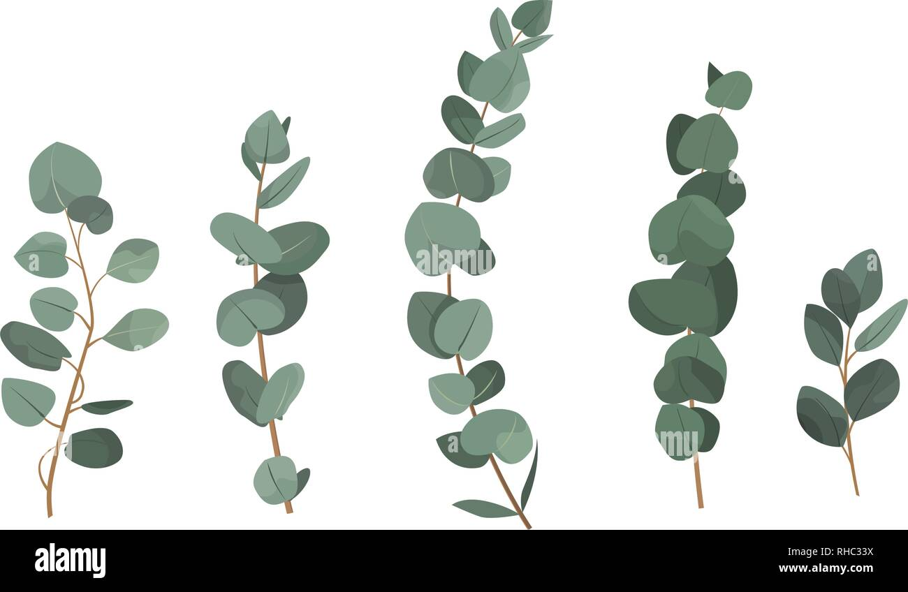 Set of eucalyptus branches isolated on white background. - Stock Vector
