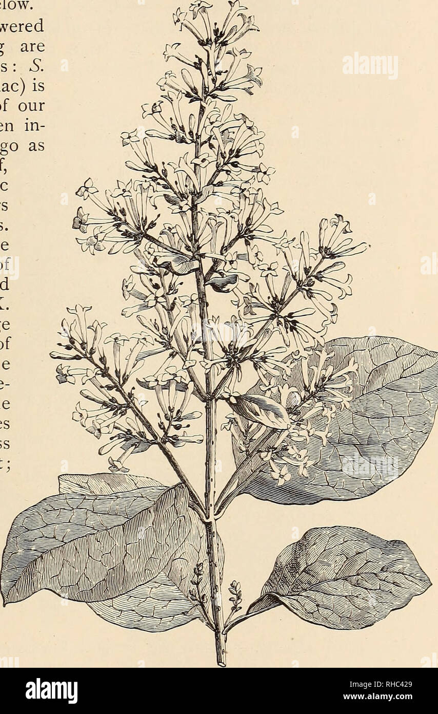 . The Book of gardening; a handbook of horticulture. Gardening; Floriculture. ON TREES AND SHRUBS. Syringas (Lilacs) are of easy growth in common soil, very floriferous, and attractive when in flower. They are useful for forcing into blossom in the depth of winter. S. oblata, S. Emodi (Fig. 267), S. JosikcEa^ and S. vulgaris^ interesting though they be are not so ornamental as those mentioned below. Of Single - flowered sorts the following are specially meritorious : S. Per ska (Persian Lilac) is an old inhabitant of our gardens, having been in- troduced so long ago 1640 ; it is of dwarf, erec - Stock Image