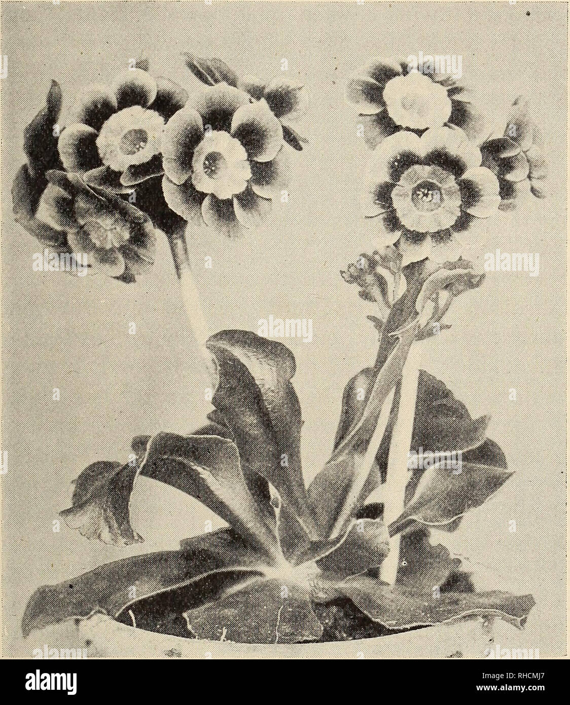""". The Book of gardening; a handbook of horticulture. Gardening; Floriculture. ON florists' flowers. 51 Alpine Auriculas.—The following are the best twelve : Dean Hole (Douglas); Diadem (Gorton); Duke of York ; Edith (Turner); Firefly (Douglas); Minstrel (Douglas) ; Defiance (Turner); Mrs. Martin (Henwood) ; Mrs. Harry Turner (Turner); Miss Moon. Fig. 30.—Alpine Auricula Melaine. (Douglas); Nellie Hibberd (Douglas) ; Toujours Gaie (Douglas); and Perfection (Douglas). Pests.—There is one disease in connection with Auriculas which ought to be mentioned—the """"rot""""; this attacks the main r - Stock Image"""