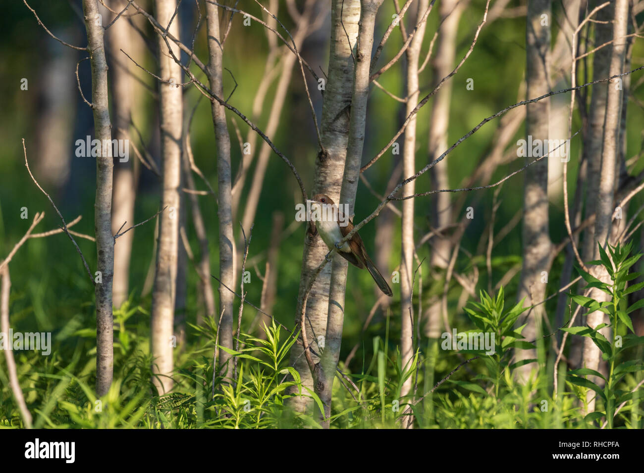 Black-billed cuckoo perched on the edge of a stand of aspen in northern Wisconsin. - Stock Image