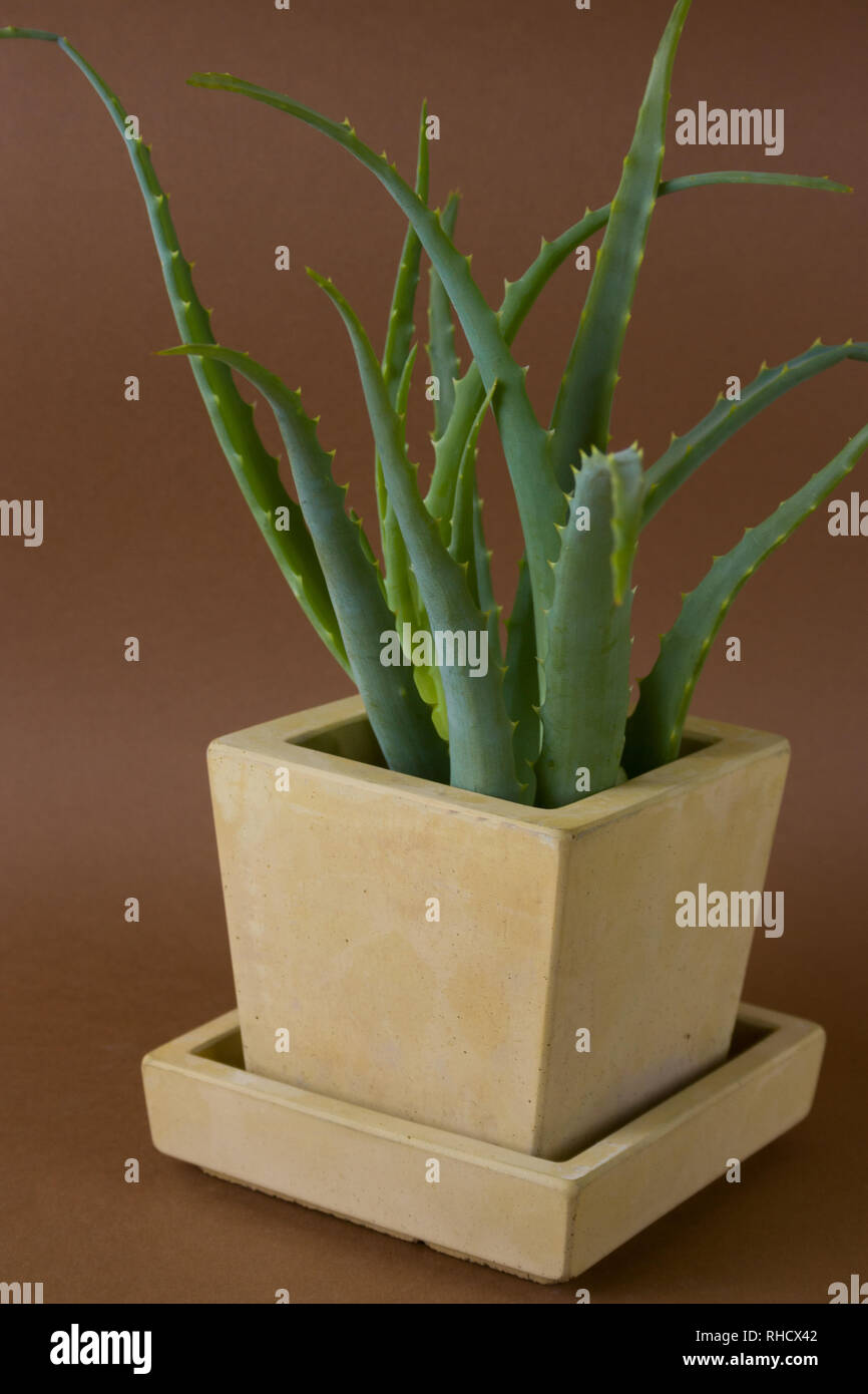 Aloe Vera Plant Potted In Painted Concrete Pot On Brown Background Trendy Element Of Modern Interior Design Stock Photo Alamy