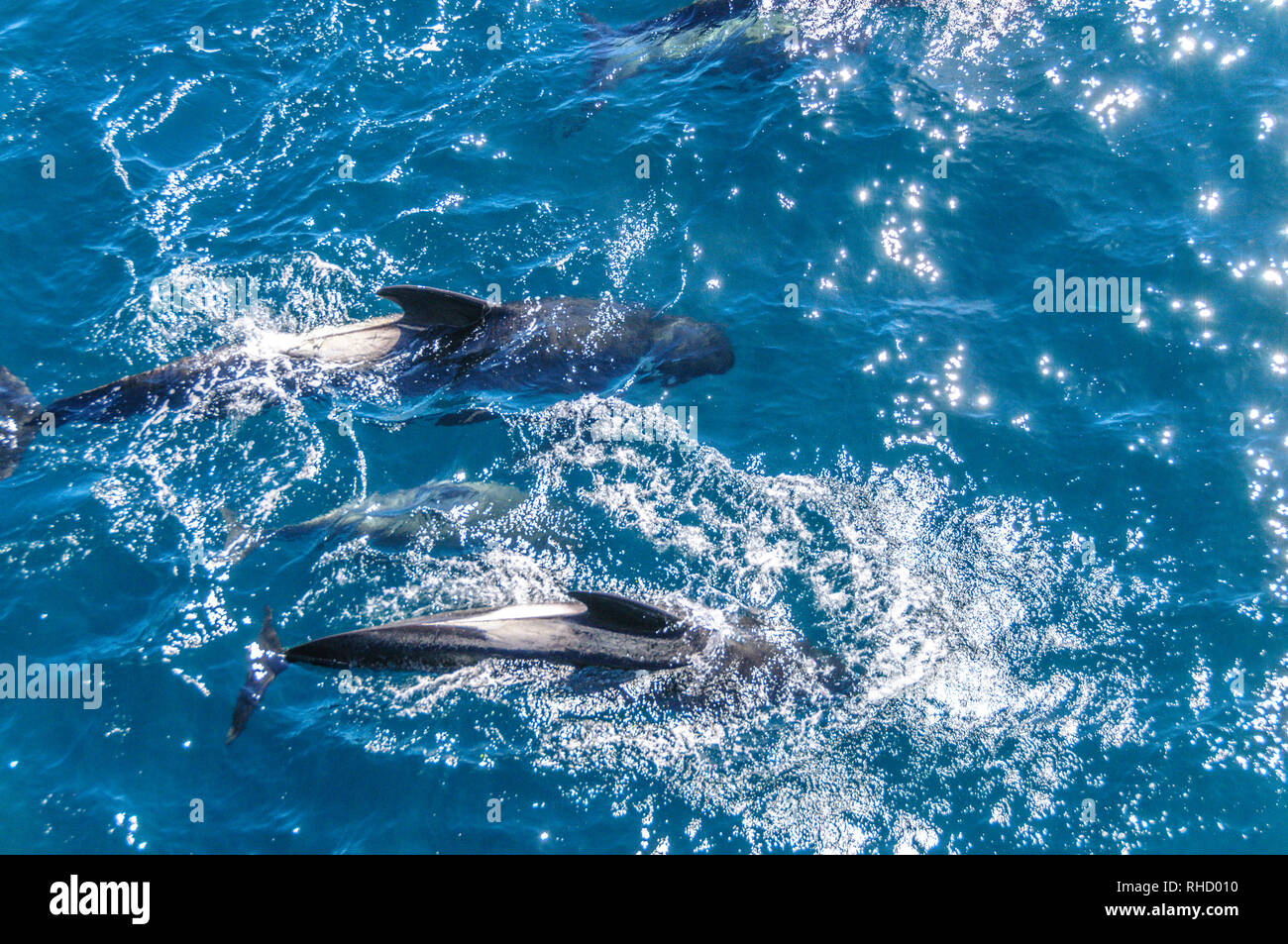 Long-Finned Pilot Whales in the Southern Atlantic Ocean - Stock Image