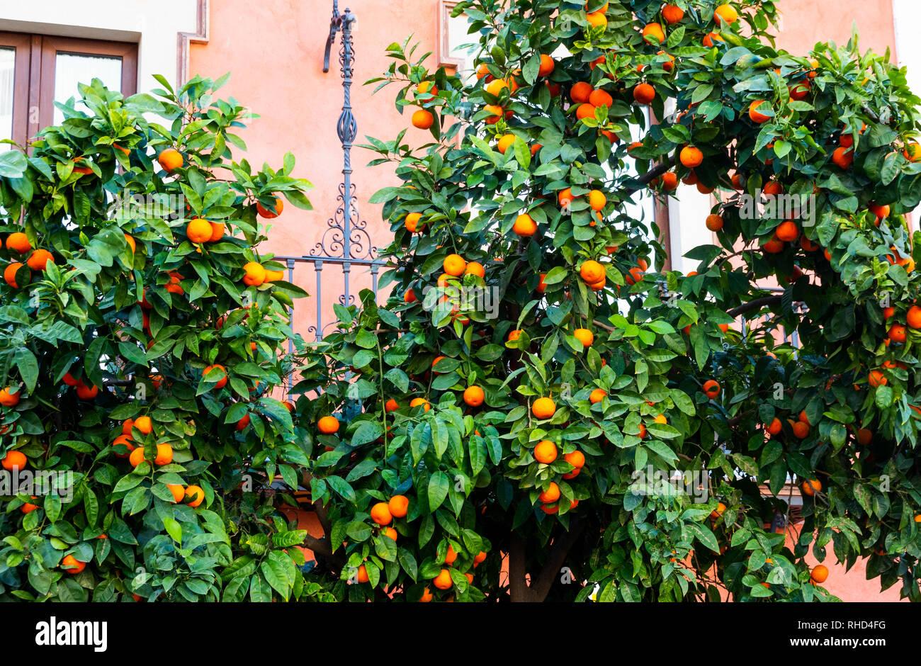 Orange trees in Seville, Spain - Stock Image