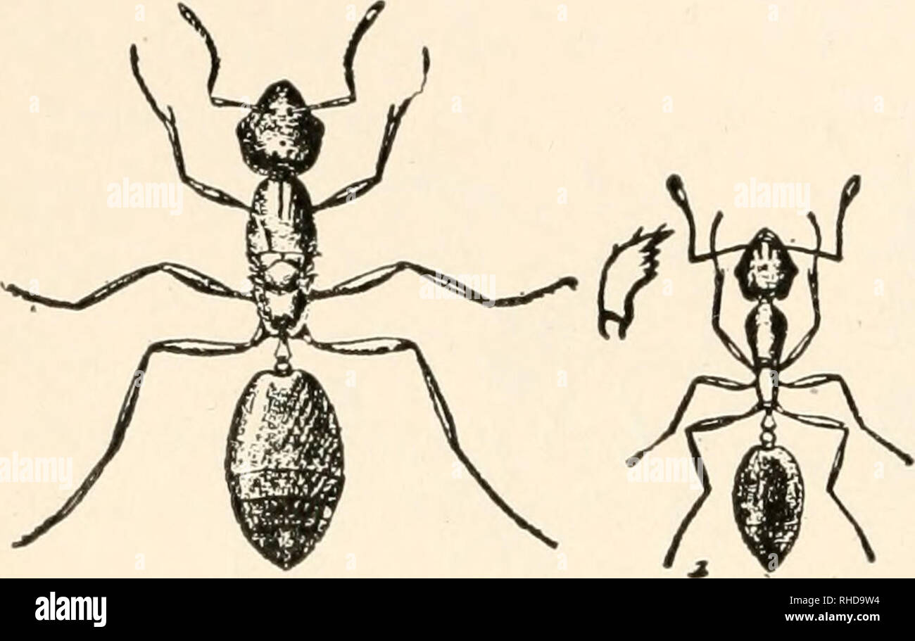 . The book of bugs. 184 The Book of Bugs.. Fig. 38. Monomonium phuraom's, the red ant of the pantry ; a, female ; £, worker. can and living by the chase, incapable of more than the simplest kinds of communal effort, are all the gradations that one finds in human society from the multi-millionaire to the Digger Indian. It is a comfort to be able to announce that among these low savages are the red ants that from living under stones have come to biting away the mortar between the bricks of houses for their troglodyte dens. There are drawbacks to this mode of living, boil- i n g water for i n- st Stock Photo