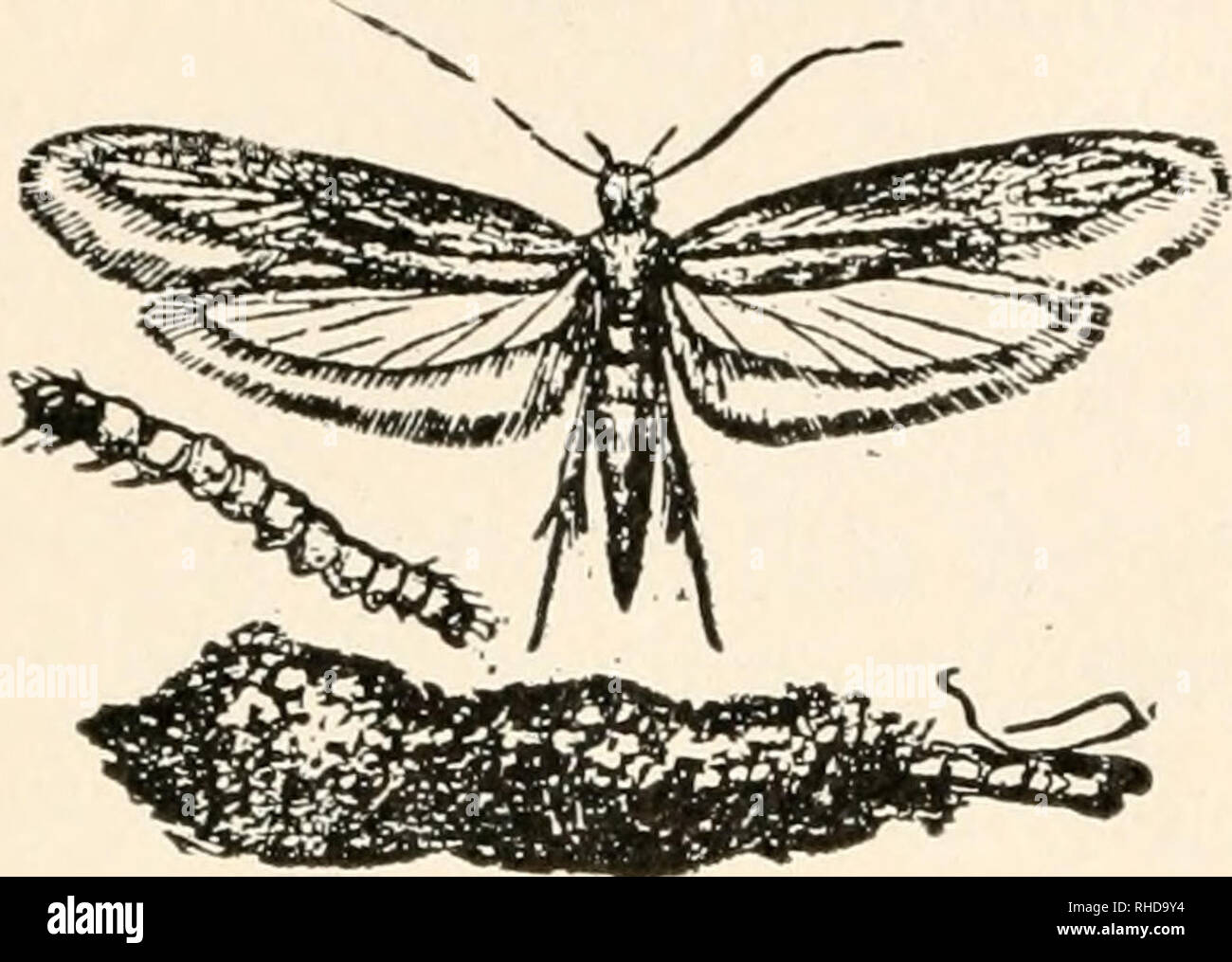 . The book of bugs. 130 The Book of Bugs.. Fig. 2Q. Tinea biselliella^ the webbing, or Southern clothes- moth; adult moth, larva cocoon, and empty pupa-skin, moth of the Southern States, has two broods a year. Its larva constructs no case or frock for itself, but spins a silk-embowered path for itself wherever it goes. It is of an uniform ocher tint, and it has been reared in England successfully on a dainty diet of cobwebs. Its particular joy is to find out where there is a collection of the most expen- sive insects, and then to de- vour them utterly, thus satis- fying its cannibalistic appe- Stock Photo