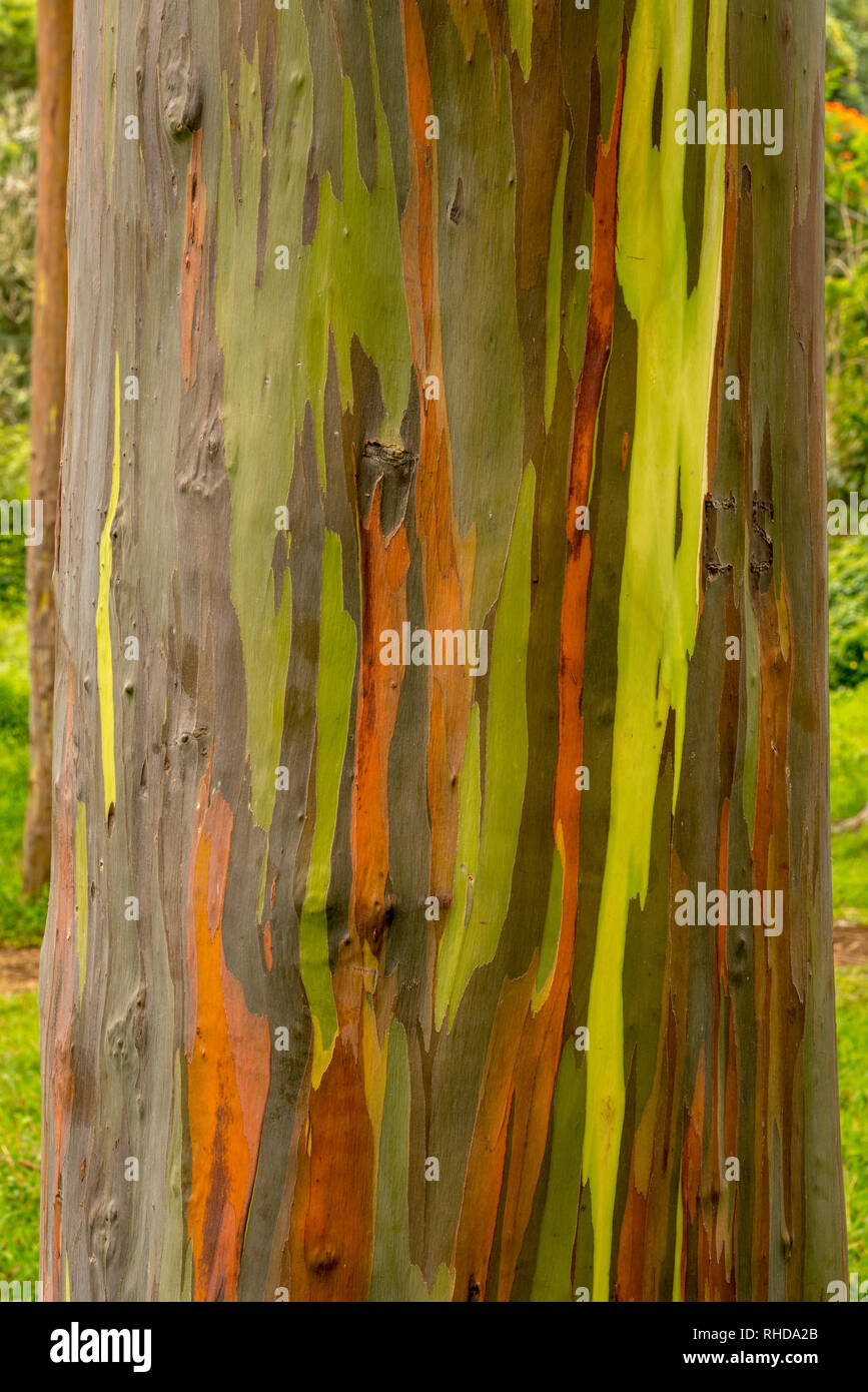 Detail of colorful bark of Rainbow Eucalyptus tree - Stock Image