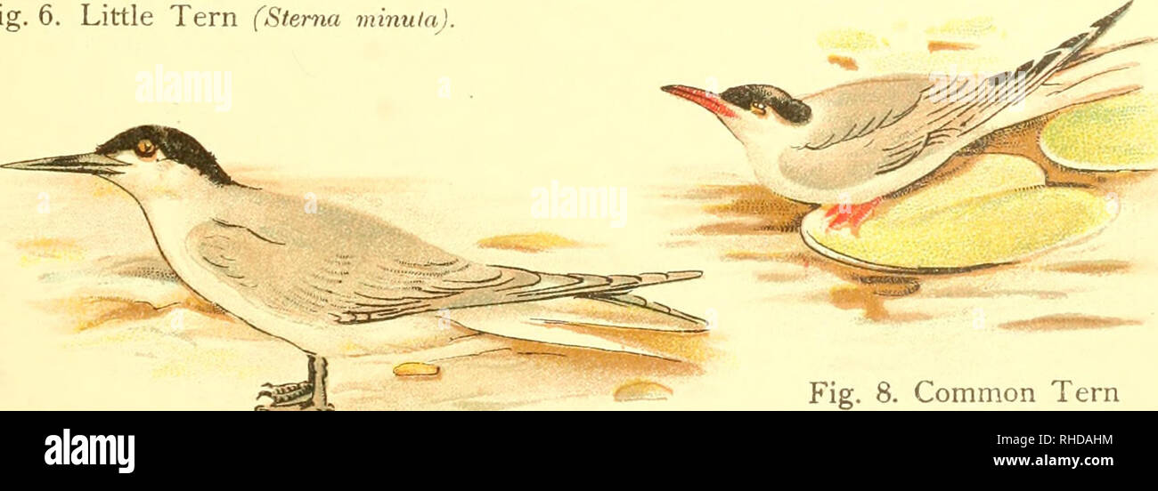 . A book of birds. Birds. Fig. 4. Black-headed Gull (Larus ridibuiidua). Fig. 6. Little Tern (Sterna minuta). Fig. 7. Sandwich fern (Sterna cantiara.). Fig. 8. Common Tern (Sterna jlm^iatilis).. Please note that these images are extracted from scanned page images that may have been digitally enhanced for readability - coloration and appearance of these illustrations may not perfectly resemble the original work.. Pycraft, William Playne. London, Sidney Appleton - Stock Image