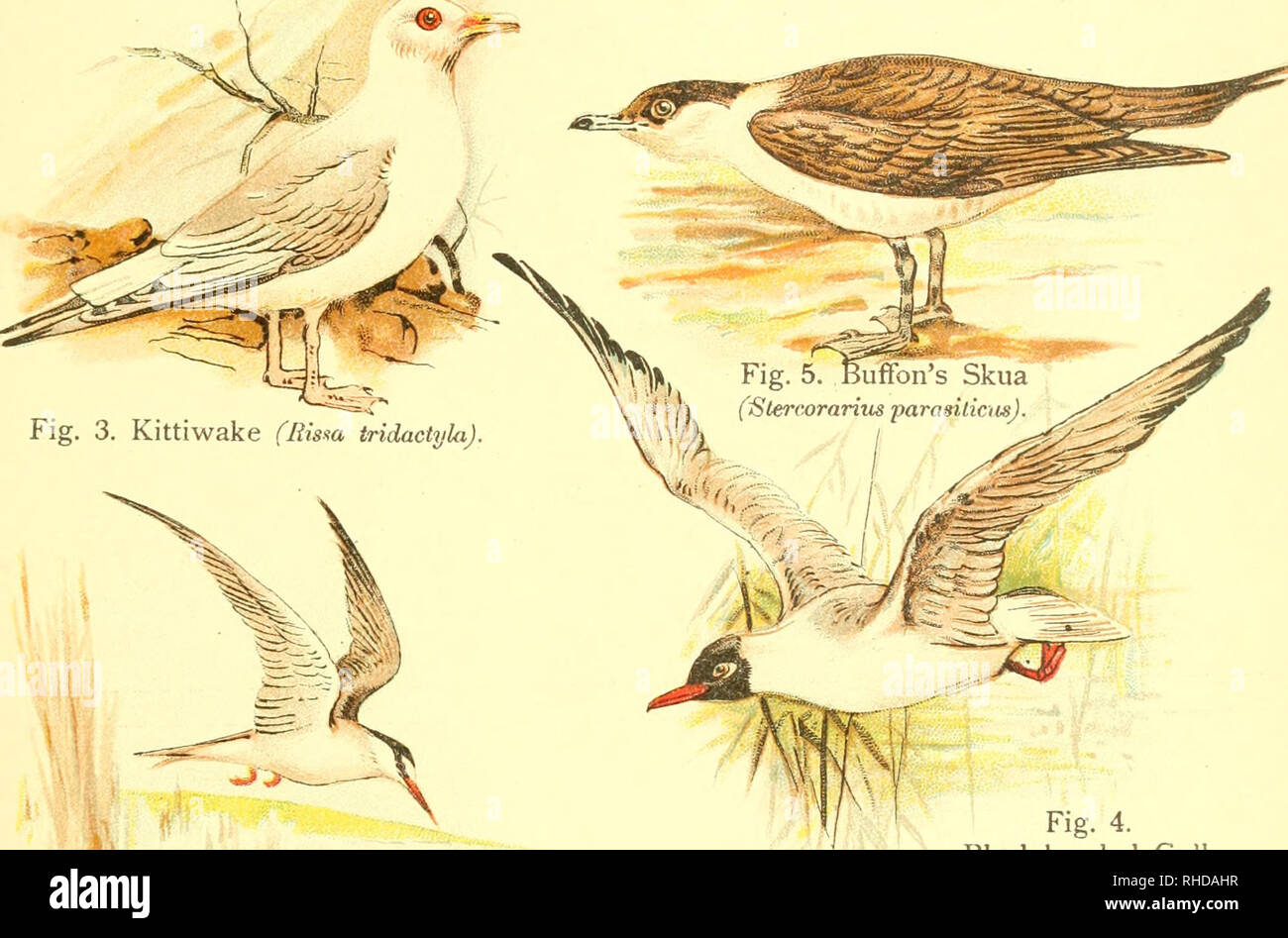 . A book of birds. Birds. Fig, Herring Gu]iC_^;;.<T^,-=.» ,= (Larus argentatu!^)â ^--^^r' Fig. 2. Common Gull (Larm canus). Fig. 4. Black-headed Gull (Larus ridibuiidua). Fig. 6. Little Tern (Sterna minuta). Please note that these images are extracted from scanned page images that may have been digitally enhanced for readability - coloration and appearance of these illustrations may not perfectly resemble the original work.. Pycraft, William Playne. London, Sidney Appleton - Stock Image