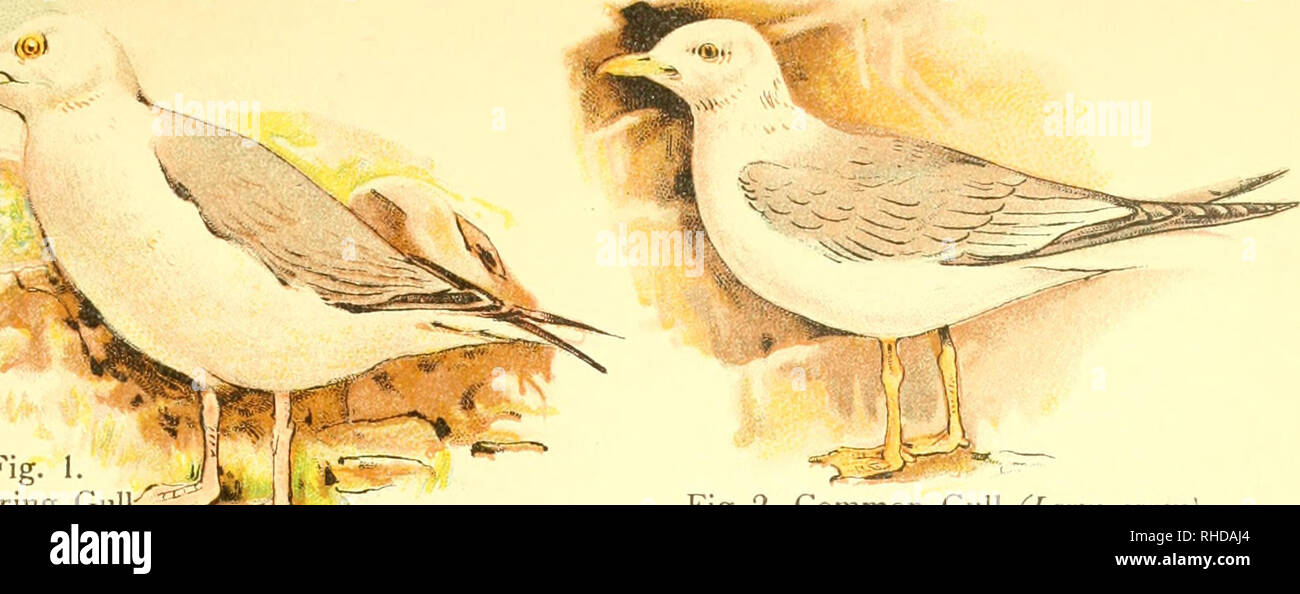 . A book of birds. Birds. Plate XVI ^:^. Fig, Herring Gu]iC_^;;.<T^,-=.» ,= (Larus argentatu!^)â ^--^^r' Fig. 2. Common Gull (Larm canus). Please note that these images are extracted from scanned page images that may have been digitally enhanced for readability - coloration and appearance of these illustrations may not perfectly resemble the original work.. Pycraft, William Playne. London, Sidney Appleton - Stock Image