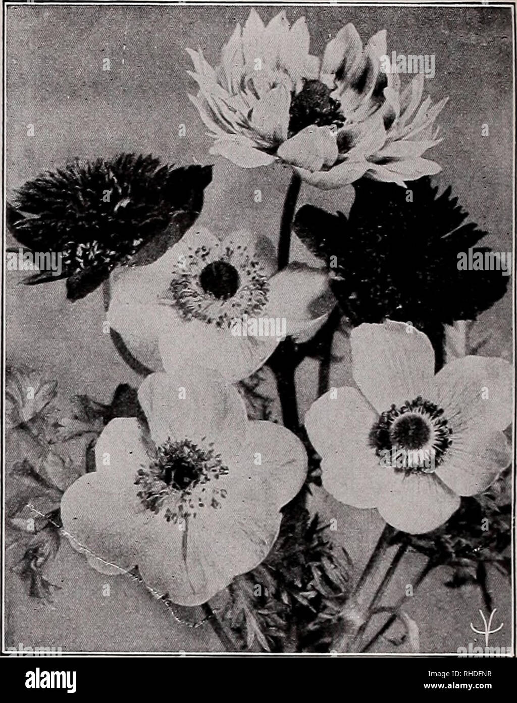 . Book for florists. Flowers Seeds Catalogs; Bulbs (Plants) Seedlings Catalogs; Vegetables Seeds Catalogs; Trees Seeds Catalogs; Horticulture Equipment and supplies Catalogs. 4 VAUGHAN'S SEED STORE, CHICAGO AND NEW YORK, BOOK FOR FLORISTS Perennial Novelties and Specialties ANEMONE Coronaria Creagh Castle Strain. Of Irish origin. It belongs to the St. Brigid variety which is well known. The flowers are extremely large and the range color exceptional. Trade pkt., $1.00. Coronaria The Governor. Double bright scarlet flowers. Trade pkt., 50c; oz., 85c; oz., $3.00. AQUILEGIA Dobbie's Imperial Hybr - Stock Image