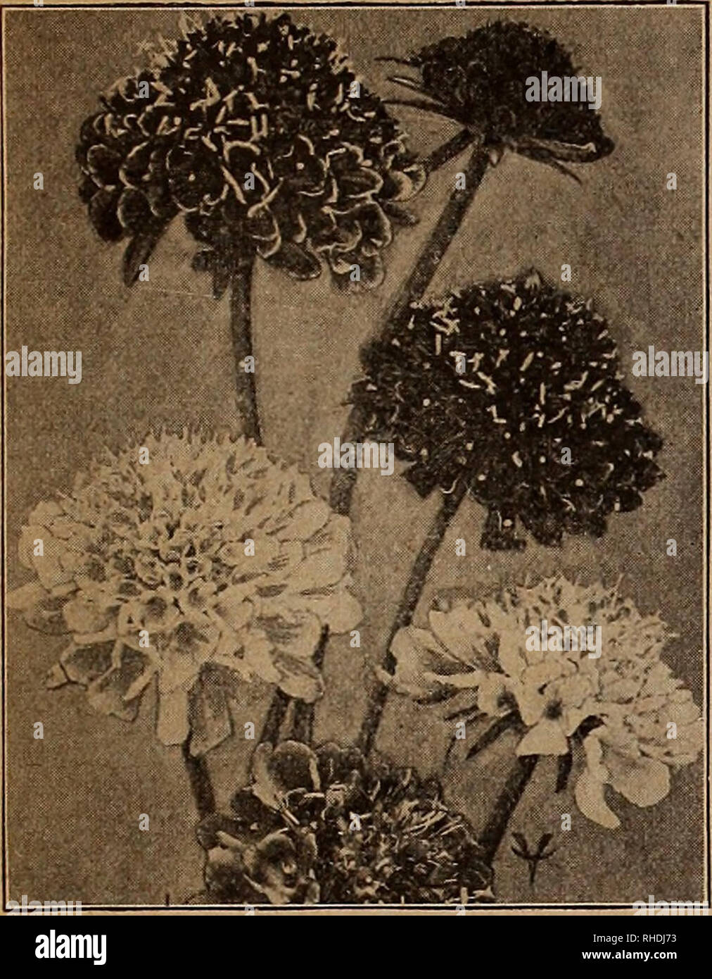 . Book for florists. Flowers Seeds Catalogs; Bulbs (Plants) Seedlings Catalogs; Trees Seeds Catalogs; Horticulture Equipment and supplies Catalogs. VAUGHAN'S SEEP STORE, CHIC&@© SfHW ^©i&SE, B©©jE W©m WlL©m,mT& 25. Please note that these images are extracted from scanned page images that may have been digitally enhanced for readability - coloration and appearance of these illustrations may not perfectly resemble the original work.. Vaughan's Seed Company; Henry G. Gilbert Nursery and Seed Trade Catalog Collection. Chicago. Ill. : Vaughan's Seed Store Stock Photo