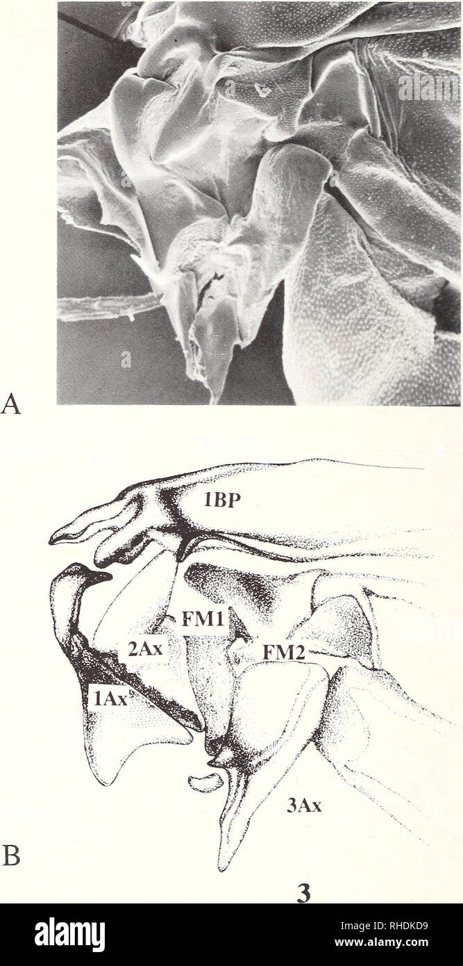 . Bonner zoologische Monographien. Zoology. 134. Fig.3: Hind wing articulation and wing base of Glaresis walzloe (Glaresidae): a, scanning electron micrograph (lOOOx); b, showing relative positions of axillaries and basal plates, first axillary (lAx), second axillary (2Ax), FR, AXM, the position of the 2Ax proximal lobe beneath lAx (stippled region on the distal arch of the lAx tail), third axillary (3Ax), detached AXCu fragment of 3Ax, first basal plate (IBP), HP, PC+C, BScA, Sc A, BRP, second basal plate (2BP), BMA, BMP, MP, BMP-BCuA brace, BCuA, BCuP, and median plate (MED=FM1+FM2) (slightl - Stock Image