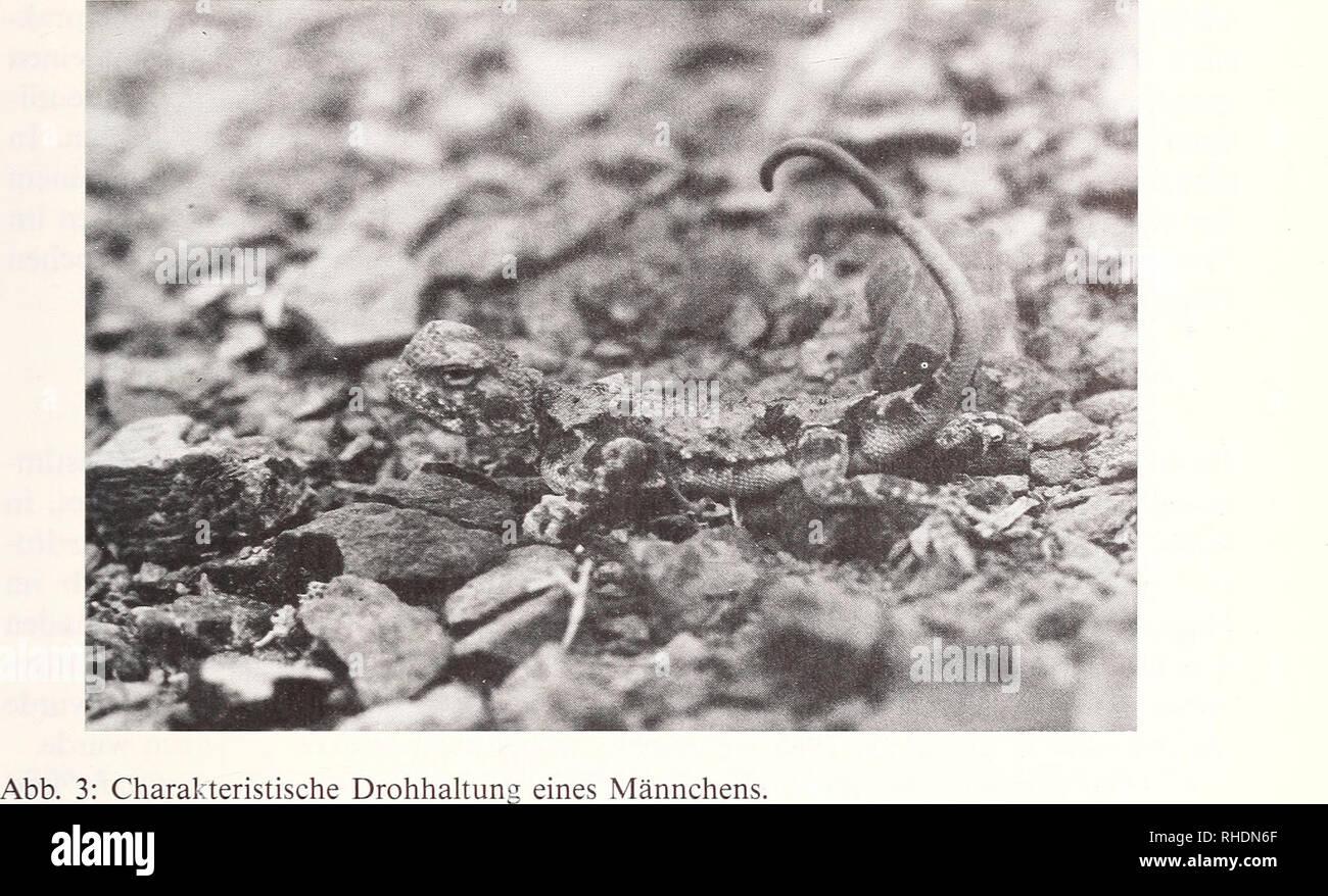 . Bonner zoologische Beiträge : Herausgeber: Zoologisches Forschungsinstitut und Museum Alexander Koenig, Bonn. Biology; Zoology. Zur Ökologie von Phrynocephalus helioscopus 135. offenbar nicht vorhandene Ausdauer und recht große Trägheit bewirkt, daß die Aga- men dann mit ansonsten angepreßtem Oberkörper den eingerollten Schwanz mit den geschlechtsspezifischen Signalfarben auf dessen Unterseite präsentieren (Abb. 3). Diese Färbung, die sich auf die Schwanzspitze beschränkt, unterliegt nach Ananyeva (1981) einer starken geographischen Variabilität innerhalb des Areals und ist im untersuchten G Stock Photo